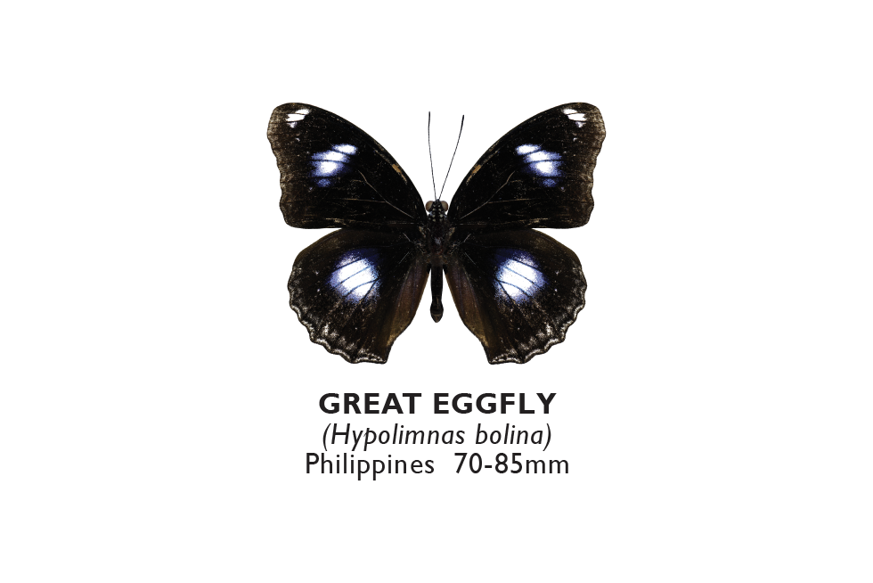Great Eggfly.png