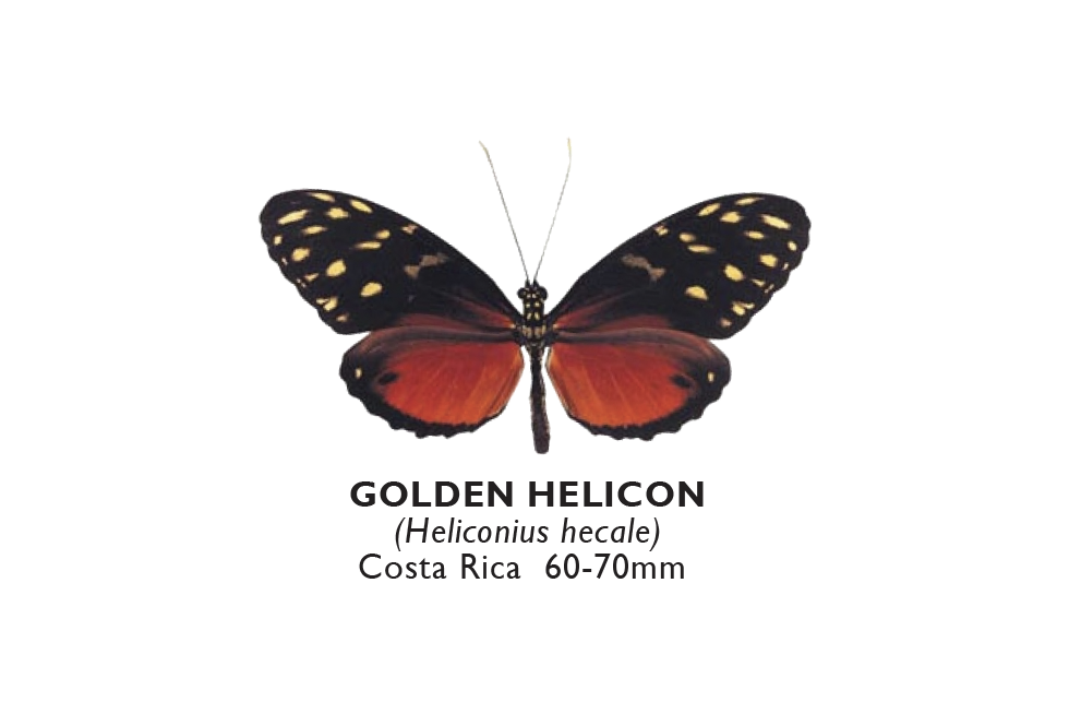 Golden Helicon.png