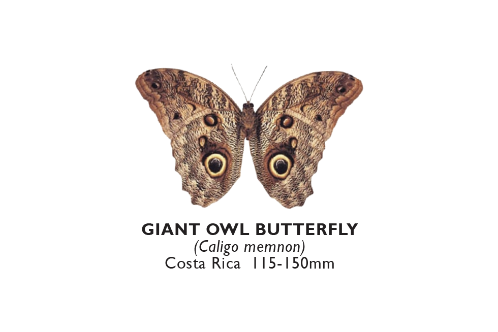 Giant Howl Butterfly.png