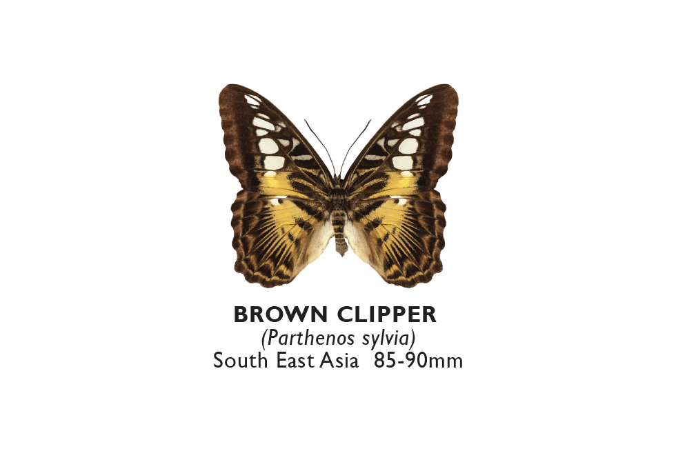 Brown Clipper.png
