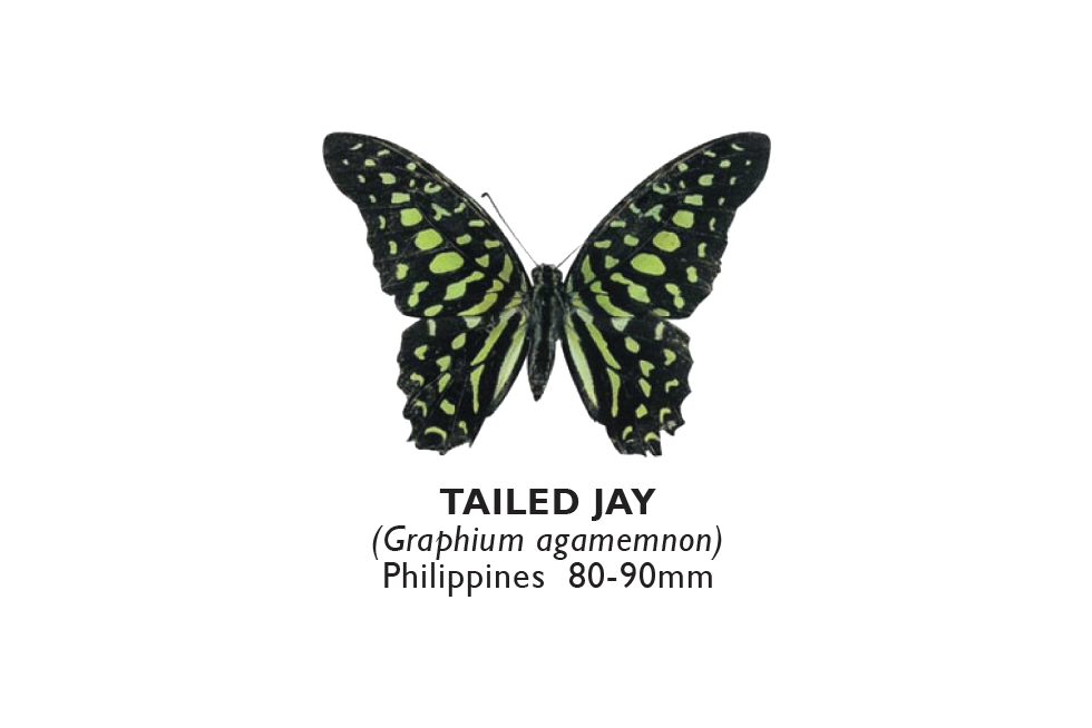 Tailed Jay.png