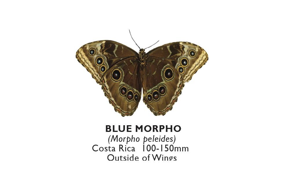 Blue Morpho Outside.png