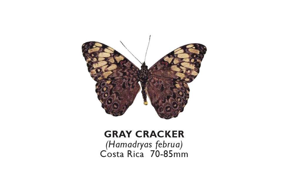 Gray Cracker.png