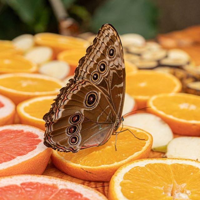 1862972db Looks like this Blue Morpho is getting first dibs on the morning feast! 🦋