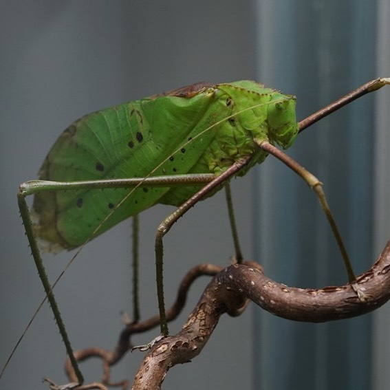 We are pleased to report that our team is making excellent progress creating a self-sustaining & populating family of Giant Katydids (Macrolyristes corporalis). This is the largest species of Katydid in the world! Despite having large wings, these guys are not the greatest jumpers or flyers. Instead, they opt to slowly walk from branch to branch.⠀ #victoriabutterflygardens⠀ •⠀ •⠀ •⠀ •⠀ •⠀ #vbg #insectarium #victoriabc #yyj #explorevictoria #explorevancouverisland #supportlocal #pnw #pacificnorthwest #westcoastbestcoast #butterfly #hercules #herculesbeetle #butterflies #photooftheday #coloursofnature #naturebeauty #nature_brilliance #jungle #iguana #flamingos #duck #ExploreVictoria #ShareVancouverIsland #VancouverIsland⠀