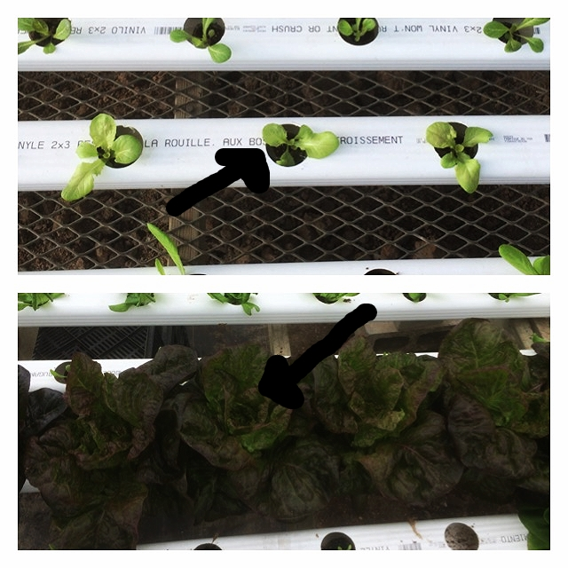 Above look at where the arrow is. That is the same plant from 6/9-7/6 about 28 days or so of difference. Buttercrunch 'Alkindus'
