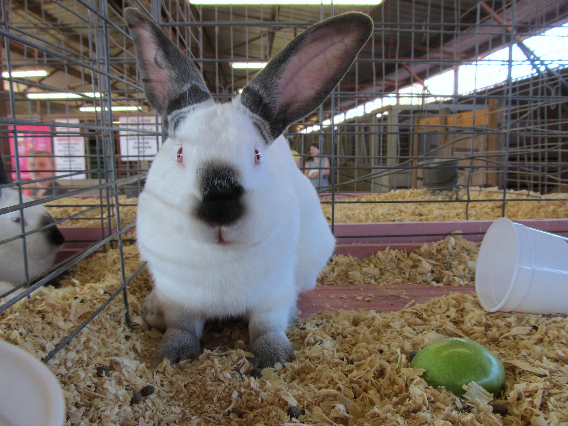 Arkansas State Fair rabbit by Kat Robinson.jpg