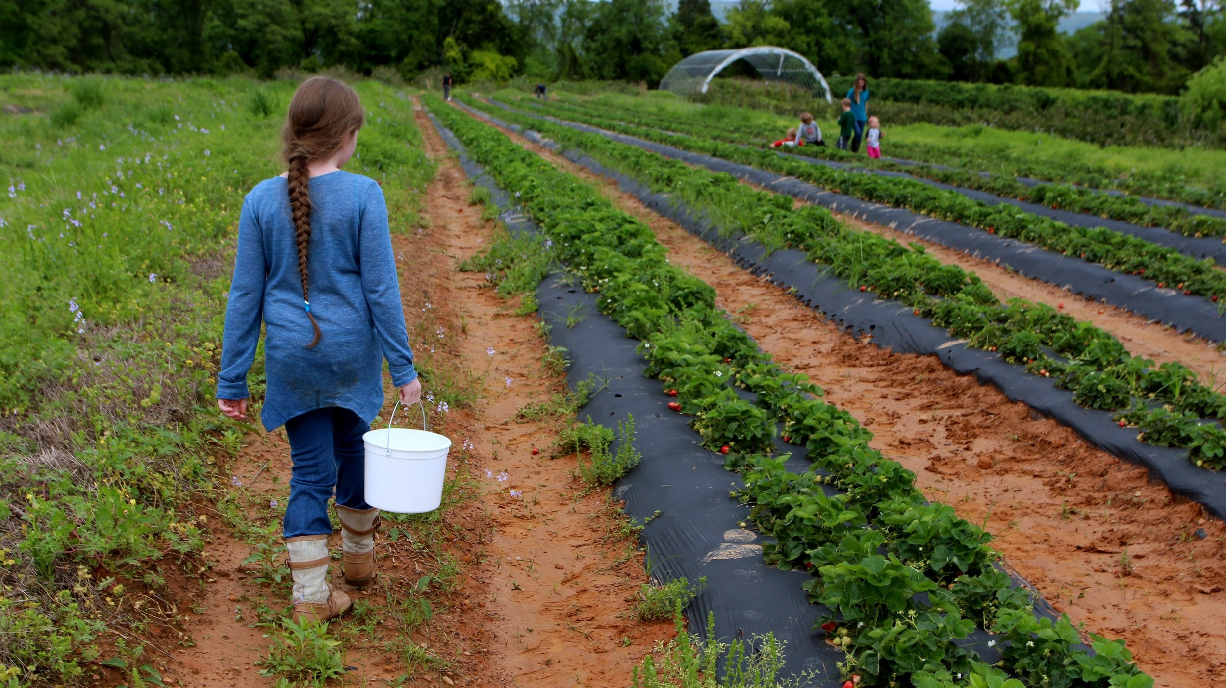 Hunter Robinson, author Kat Robinson's daughter, roams the rows at Cox Berry Farm looking for ripe strawberries.
