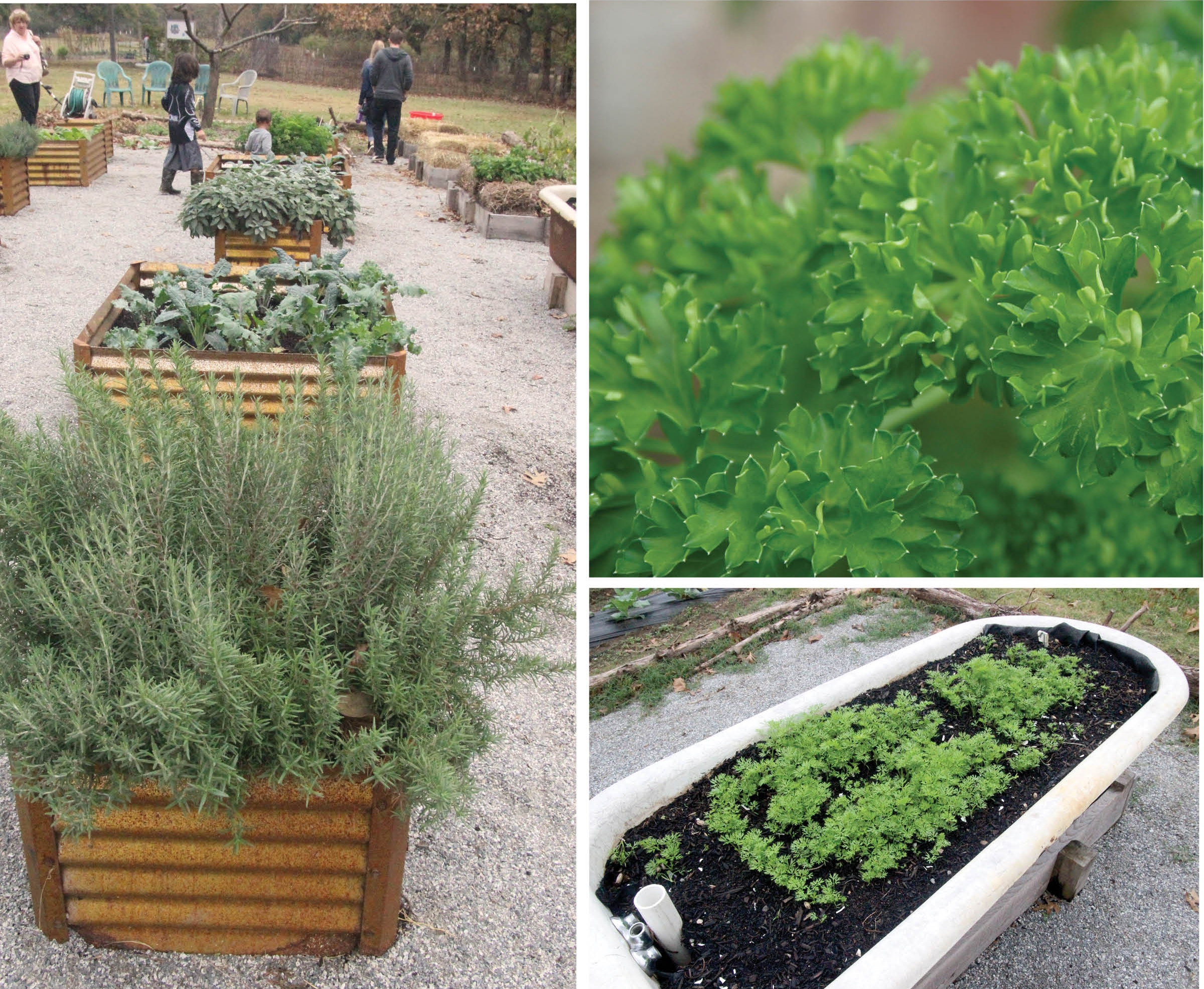 Clockwise from left: Let your herb garden reflect your personality and your needs, said herb specialist Debbie Tripp. This container is part of the herb garden at the St. Joseph Center in North Little Rock. The rosemary, pictured in the foreground, thrives in Central Arkansas and is winter hardy. Fresh parsley is a tasty addition to pasta and is easily dried for winter use. It grows well in Arkansas in pots or in the ground. Even an old bathtub with proper drainage makes an interesting and fun herb container. It's also part of the  St. Joseph Center's garden.