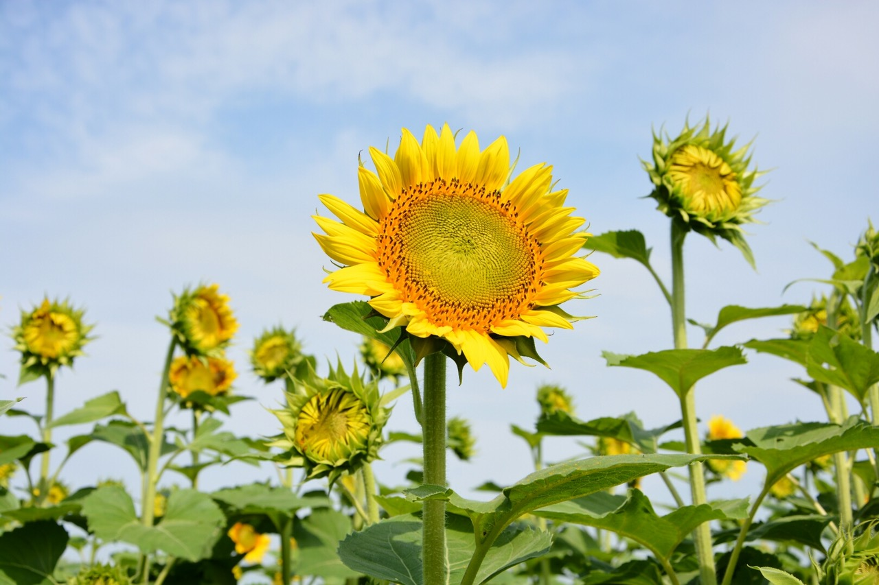 James Wayne grows NuSun sunflowers, a variety that has a good balance of fats and produces a quality oil.