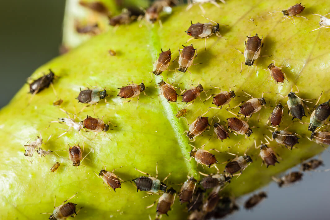 Aphids and stinkbugs are two of the pests that can proliferate on water-deficient plants.