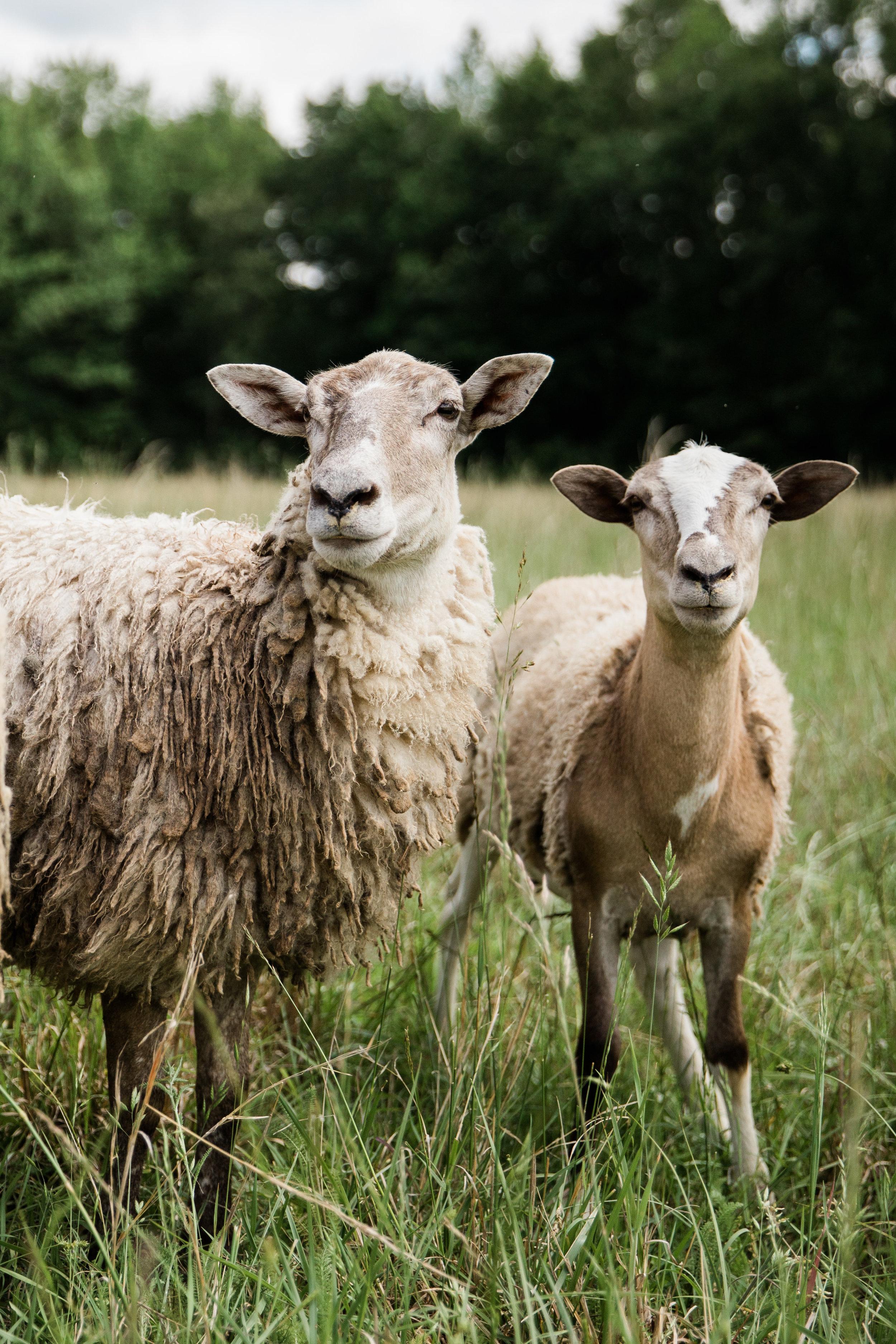 Raising Ewes