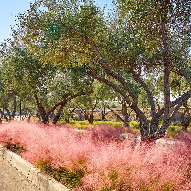 Loving these new photos we got for @landscapedevelopment_inc  endless streetscapes with pink fluffy mulbergia and field grown olives! #landscape #landscaping #landscapeconstruction