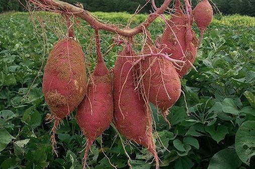 sweetpotatoesJan.JPG