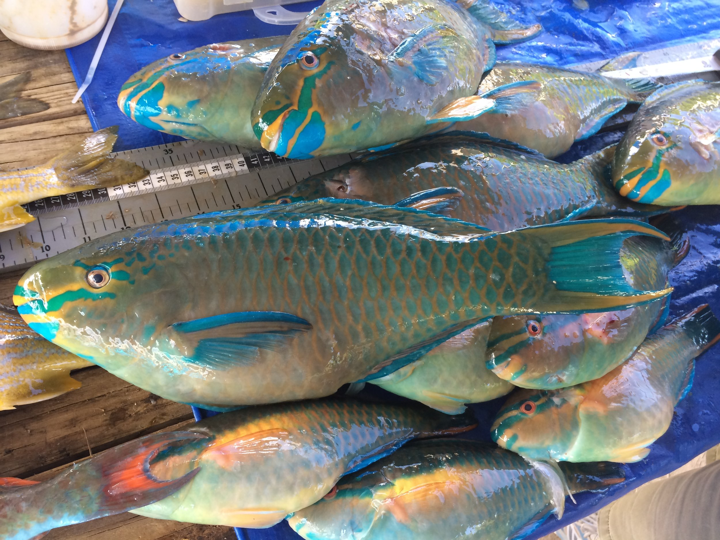 Parrotfish have been a highly favored food source throughout the Caribbean. This has lead directly to their significant population decline.