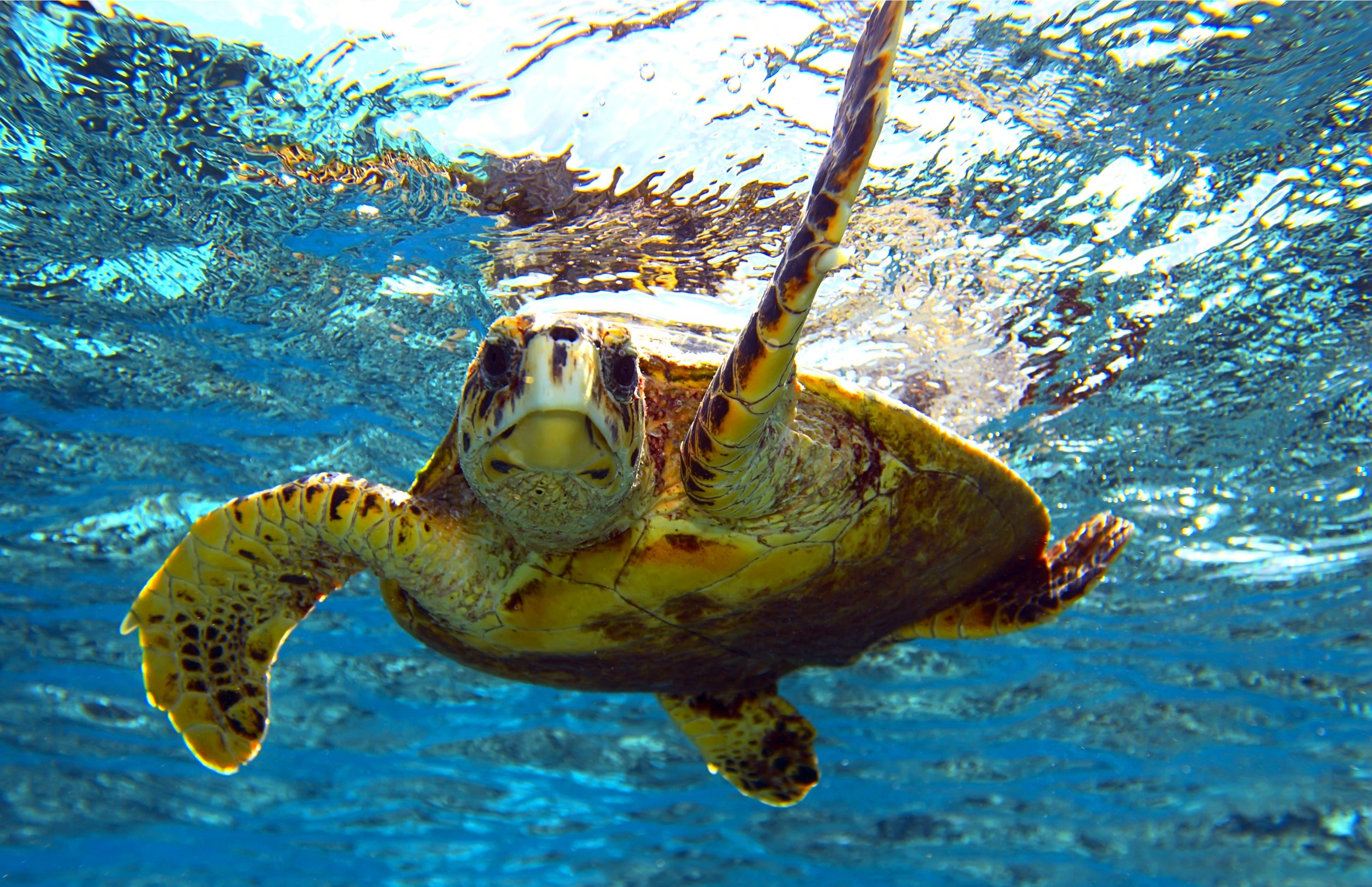 Sea turtles are attracted to Brewers Bay by the plentiful seagrass beds.