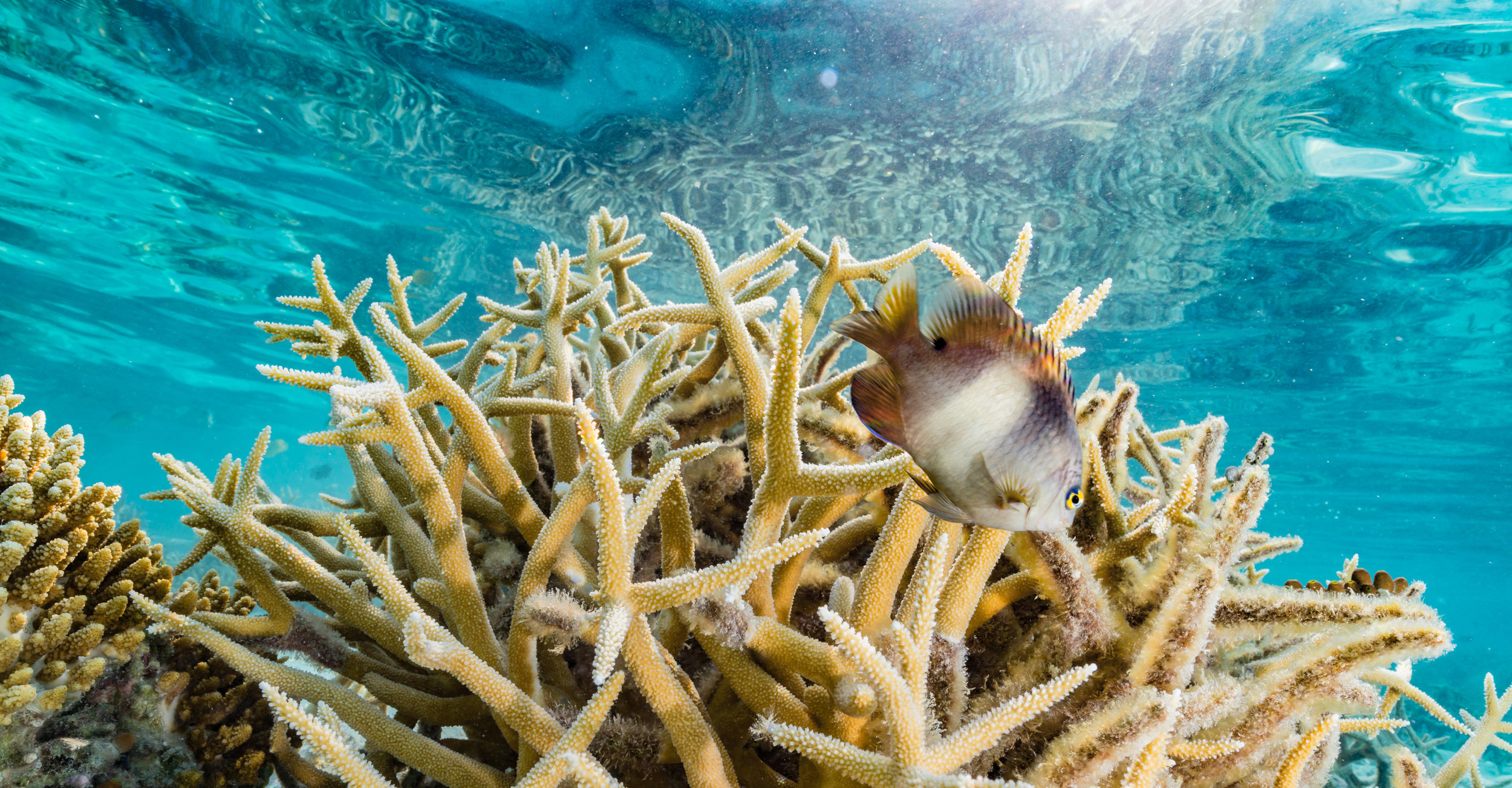 This reef fish makes its home on branching coral