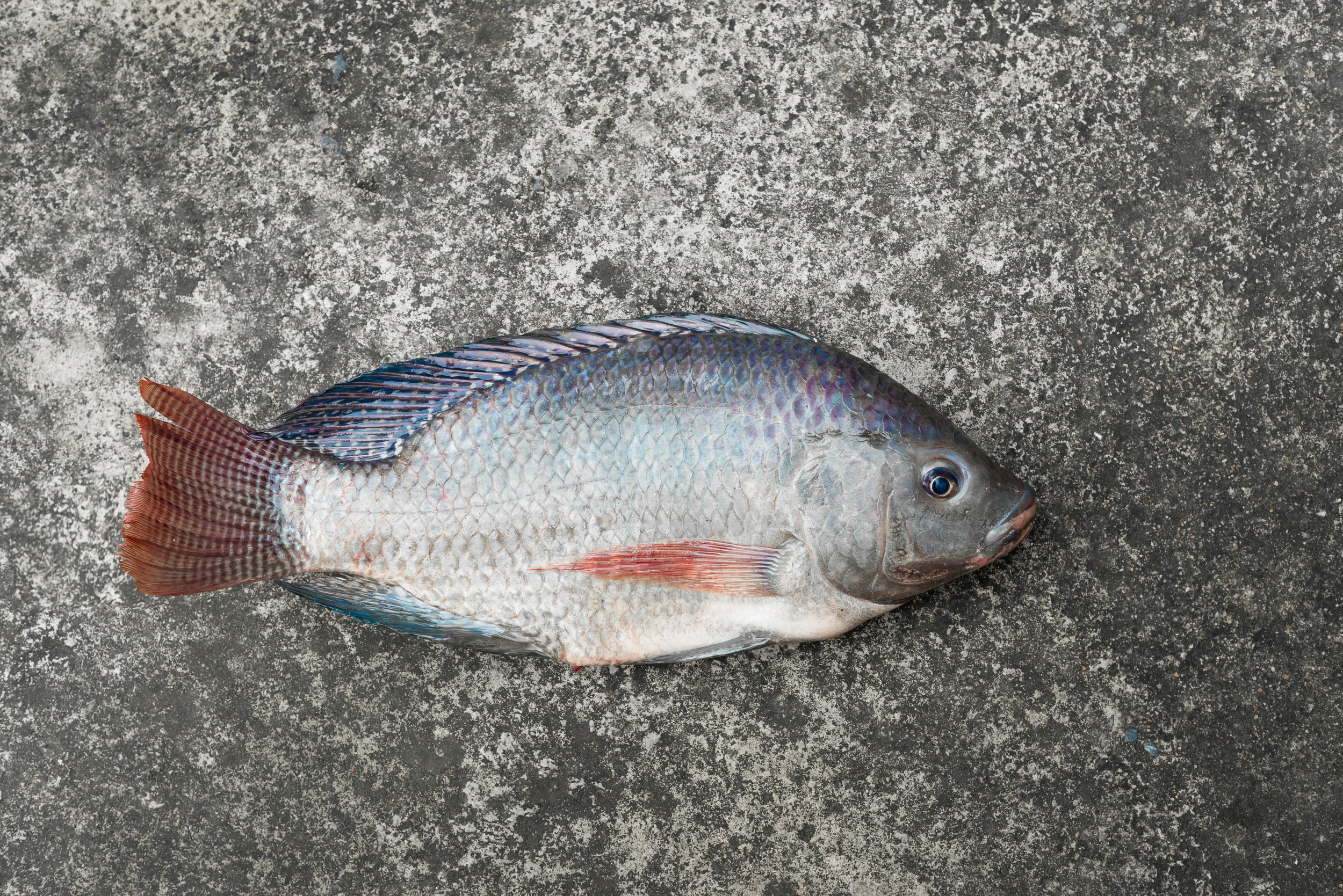 Tilapia are not a native species but are currently abundant in Great Pond.