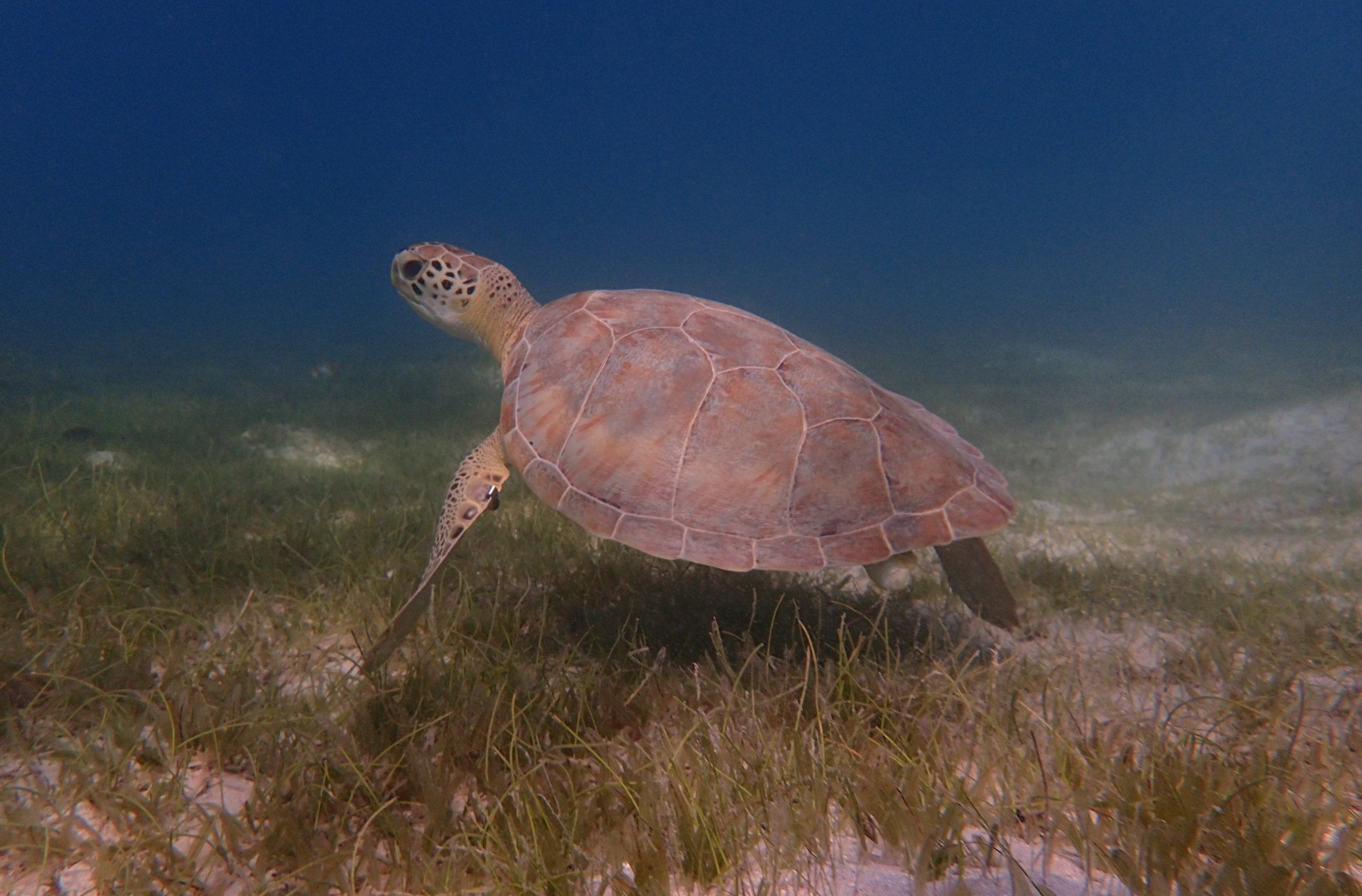 Native seagrasses play a primary role in the diet of sea turtles and provide important habitat for juvenile fishes.This juvenile green sea turtle lingers over a mixed seagrass bed with both native and invasive species