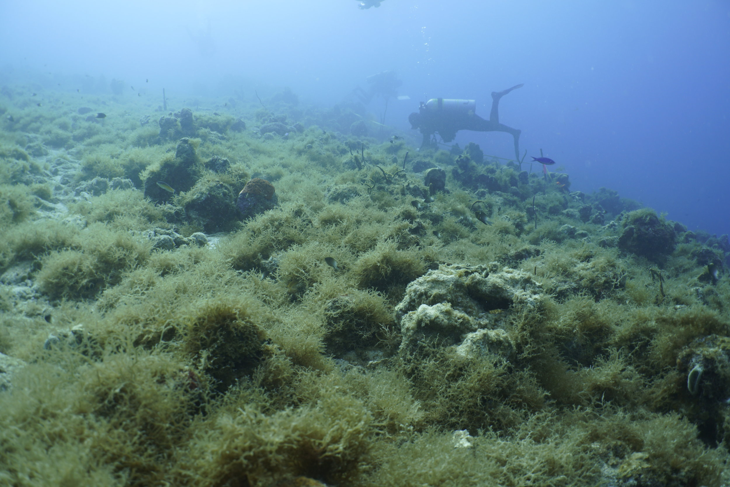 Brown fleshy seaweeds, which are an indicator of excessive nutrients and sediments, are currently overly abundant on St. Thomas reefs, possibly due to too much runoff. This project will document how these seaweeds and other organisms like sponges change through time and what will be their effect on the recovery of corals on the reef.