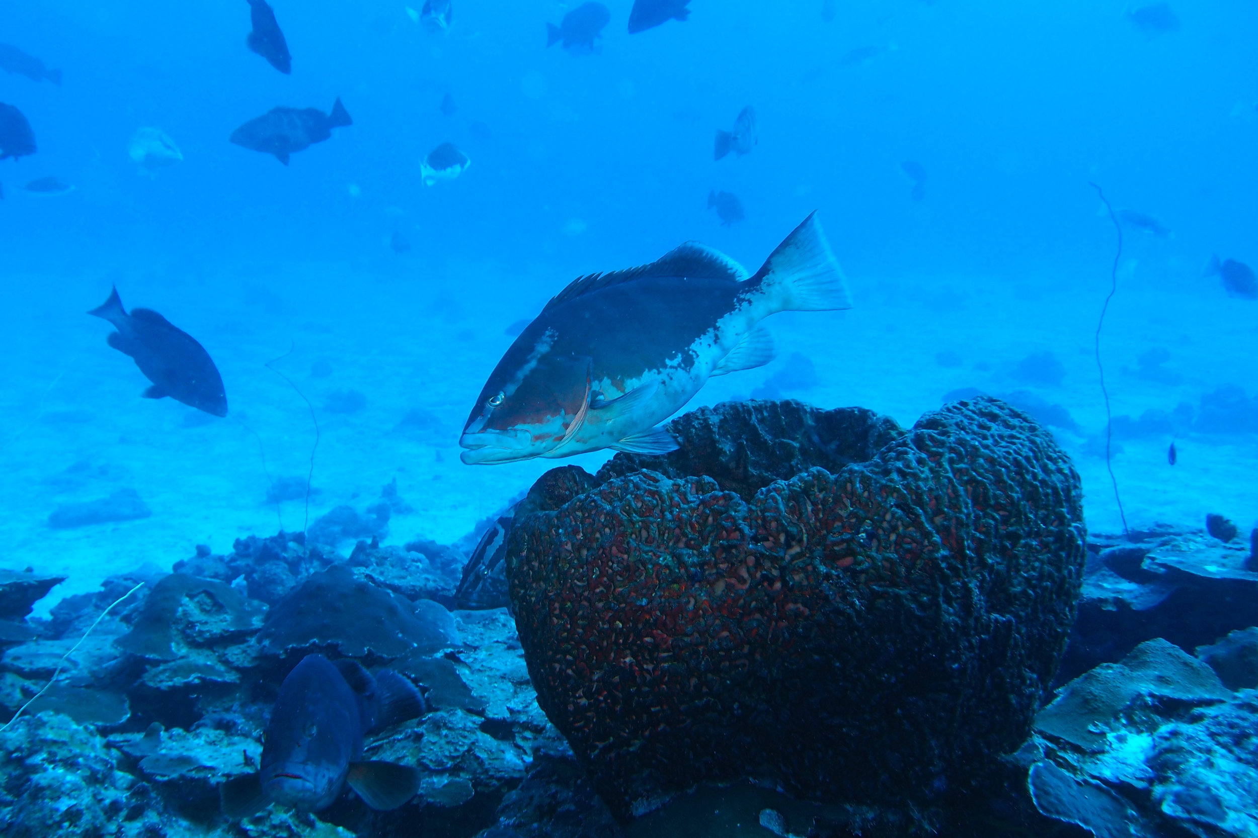The number of Nassau grouper showing up at the spawning aggregation site has continued to increase and is beleived to be up to at least 400 fish. In February 2018 over 300 fish were counted in one large group, which is the first time such a large group of Nassau grouper has ever been seen at the Grammanik Bank. Photo courtesy of Jason Quetel