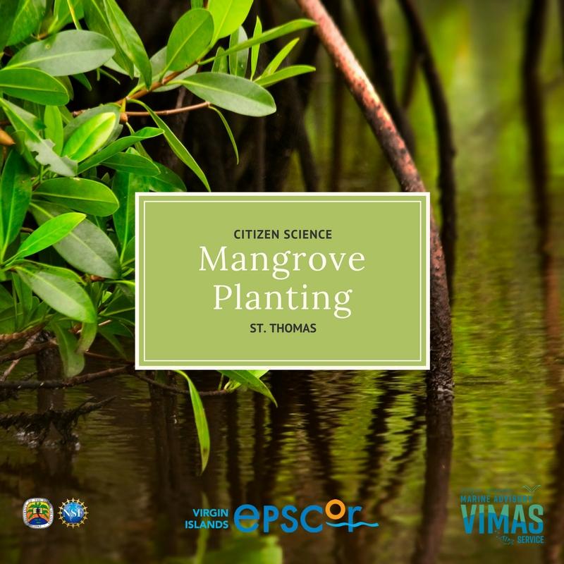 Mangrove Planting STT.jpg