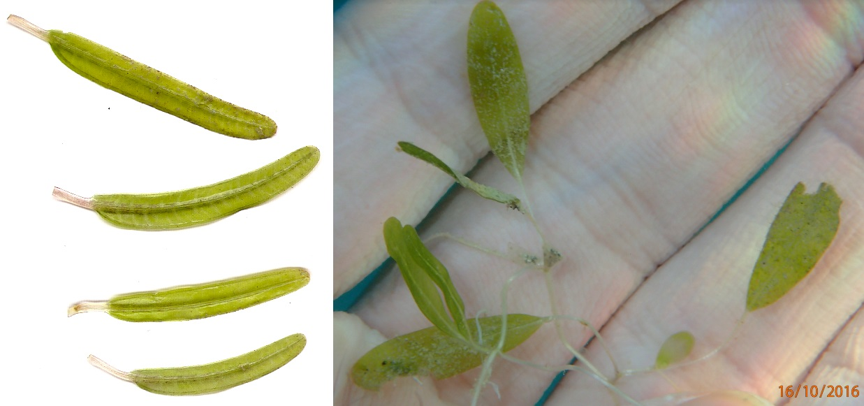 Close up view of leaves from  Halophila stipulacea  (left) and native  Halophila decipiens  (right). Note that  H. stipulacea  has longer leaf blades with a define dark line through the center