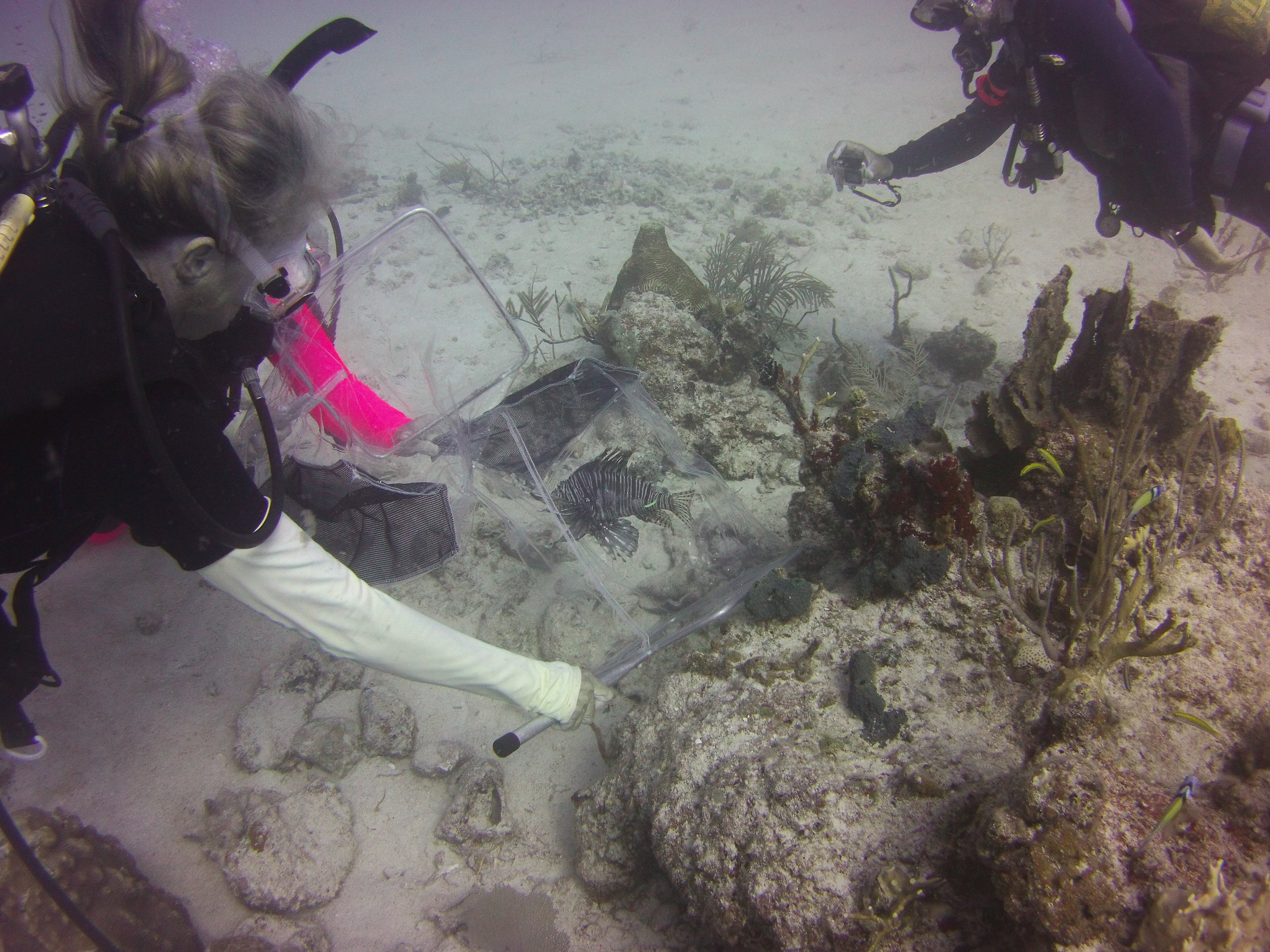 Marcia Taylor carefully captures a lionfish for tagging.