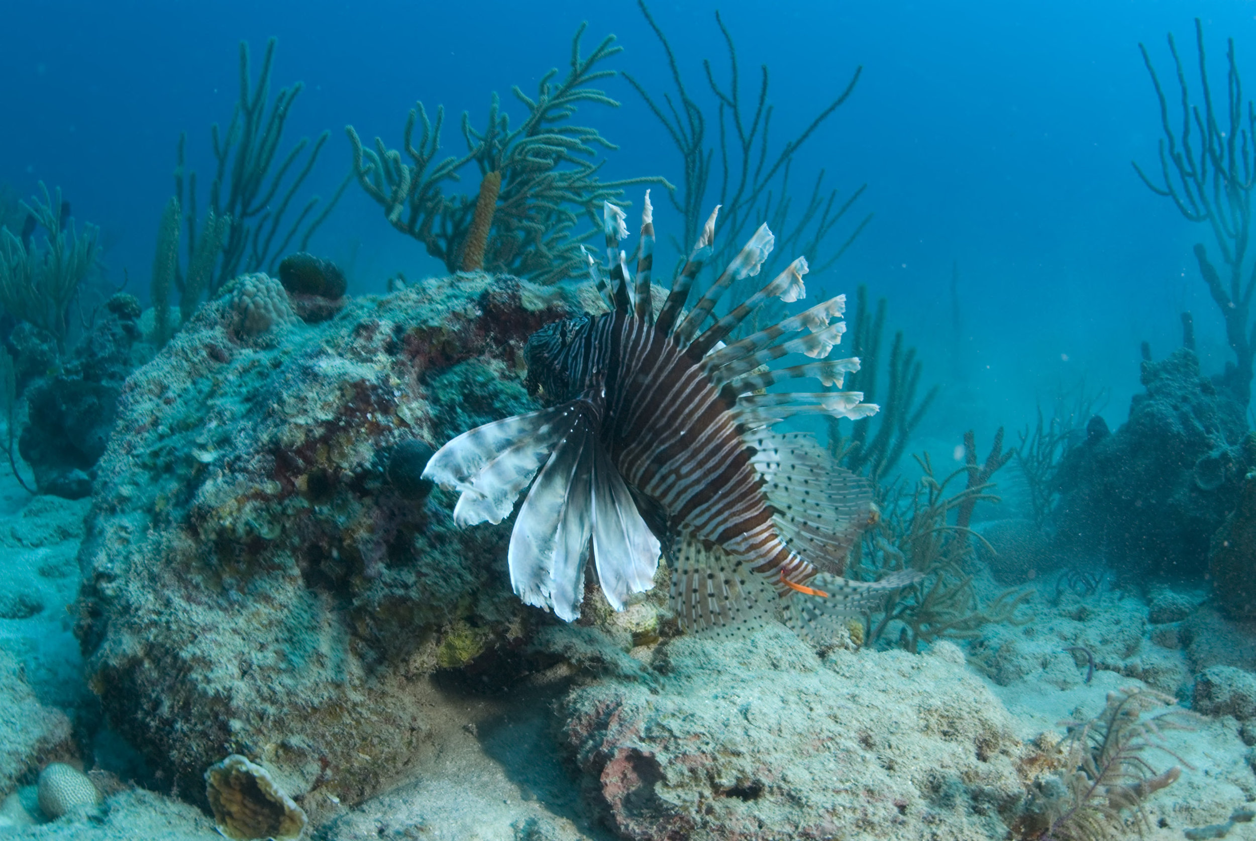 The orange streamer tag seen here helps researchers identify this lionfish in followup surveys. Photo by Lad Akins.
