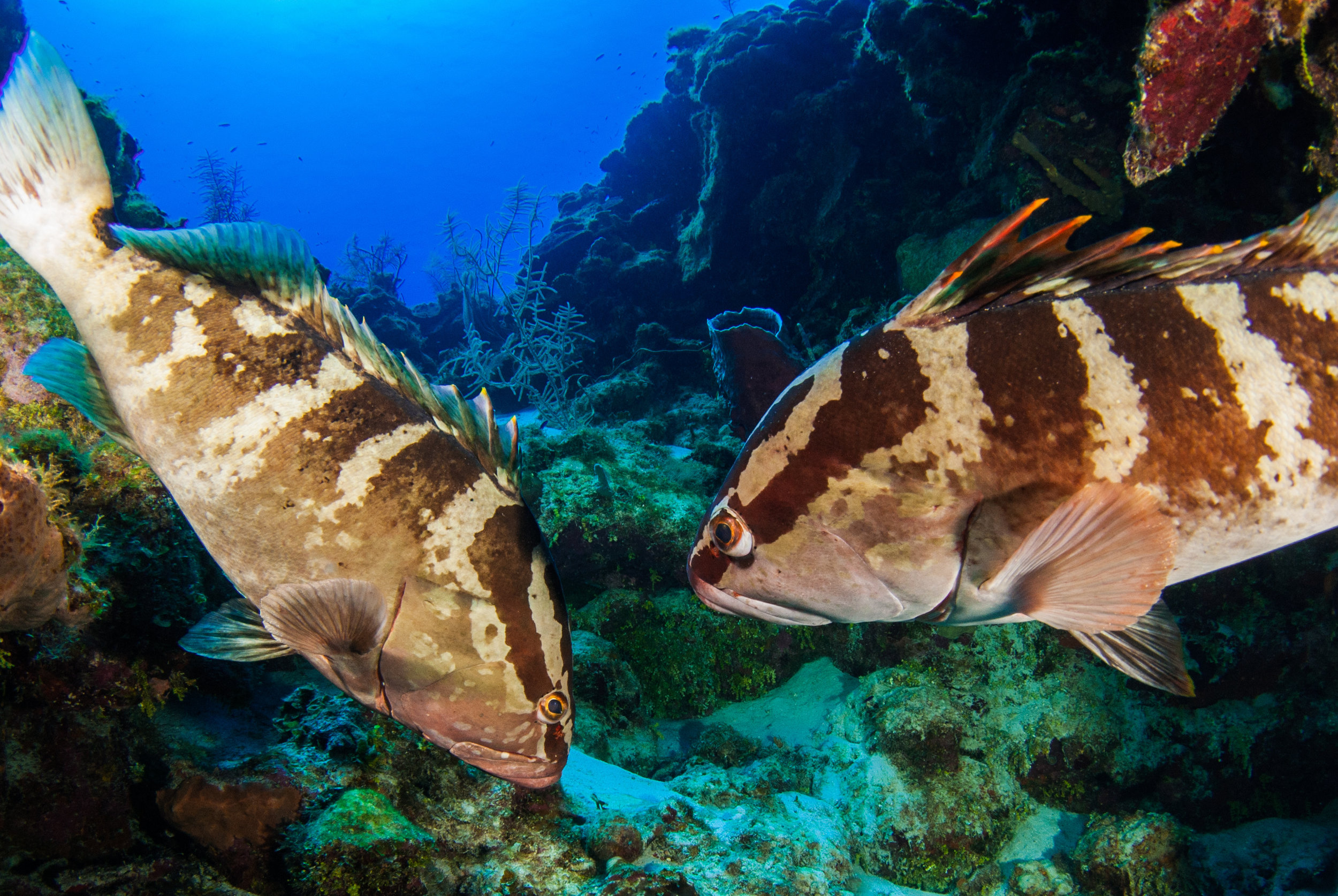 Nassau grouper are an endangered species, appearing on the  IUCN Red List  since 1996