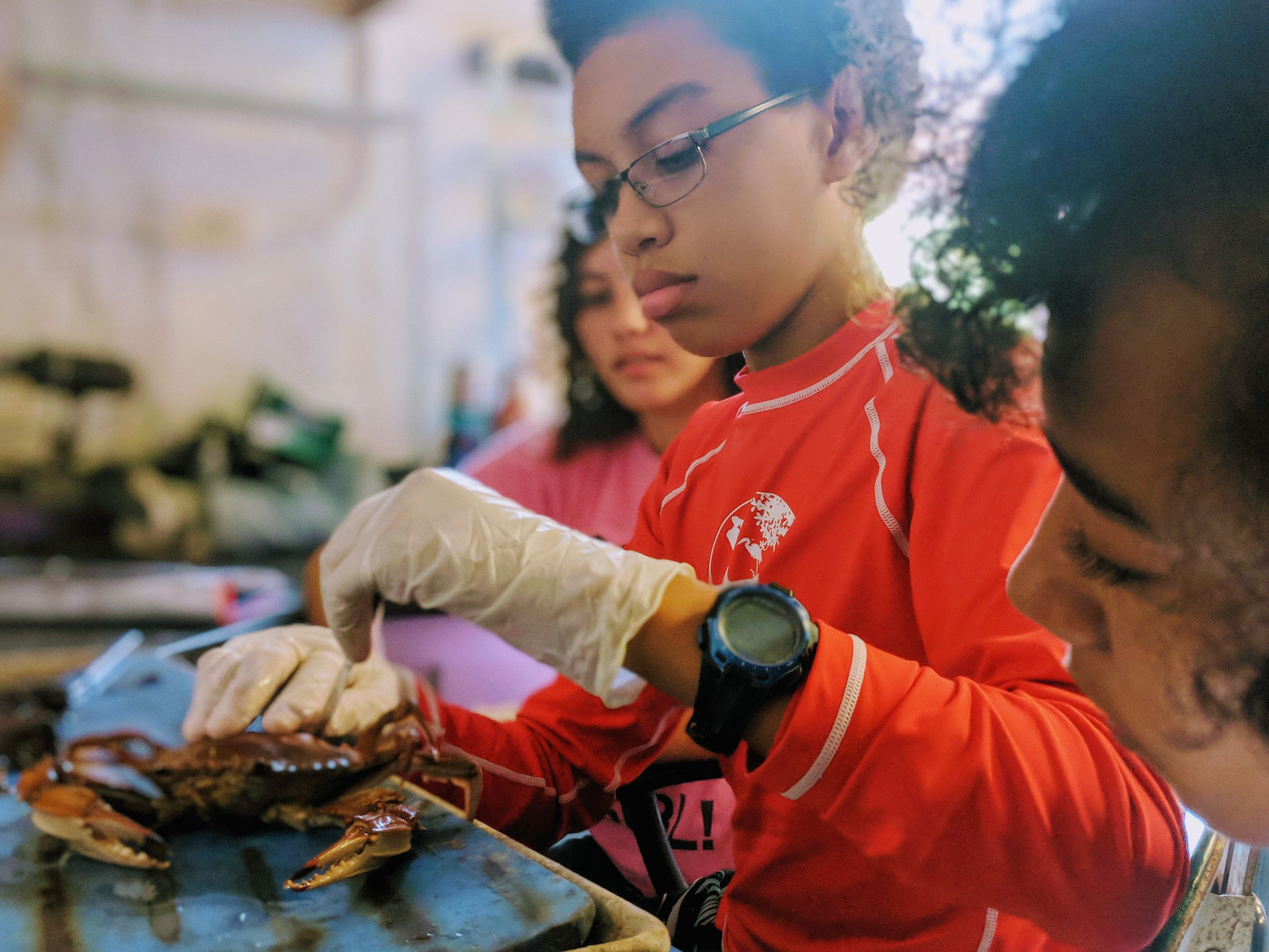 YOE students dissecting a blue crab.