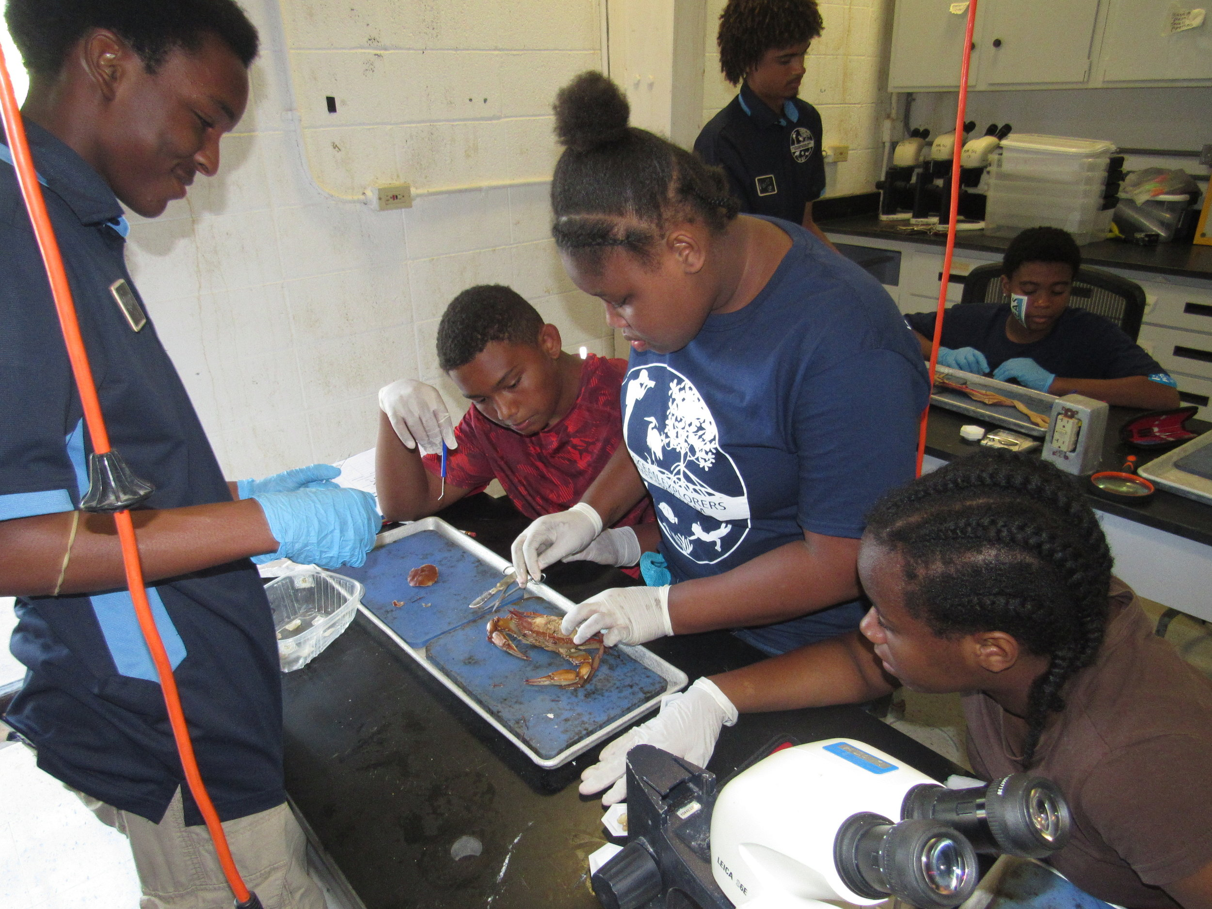 YOE students dissecting blue crabs and other marine invertebrates such as urchins and squid.