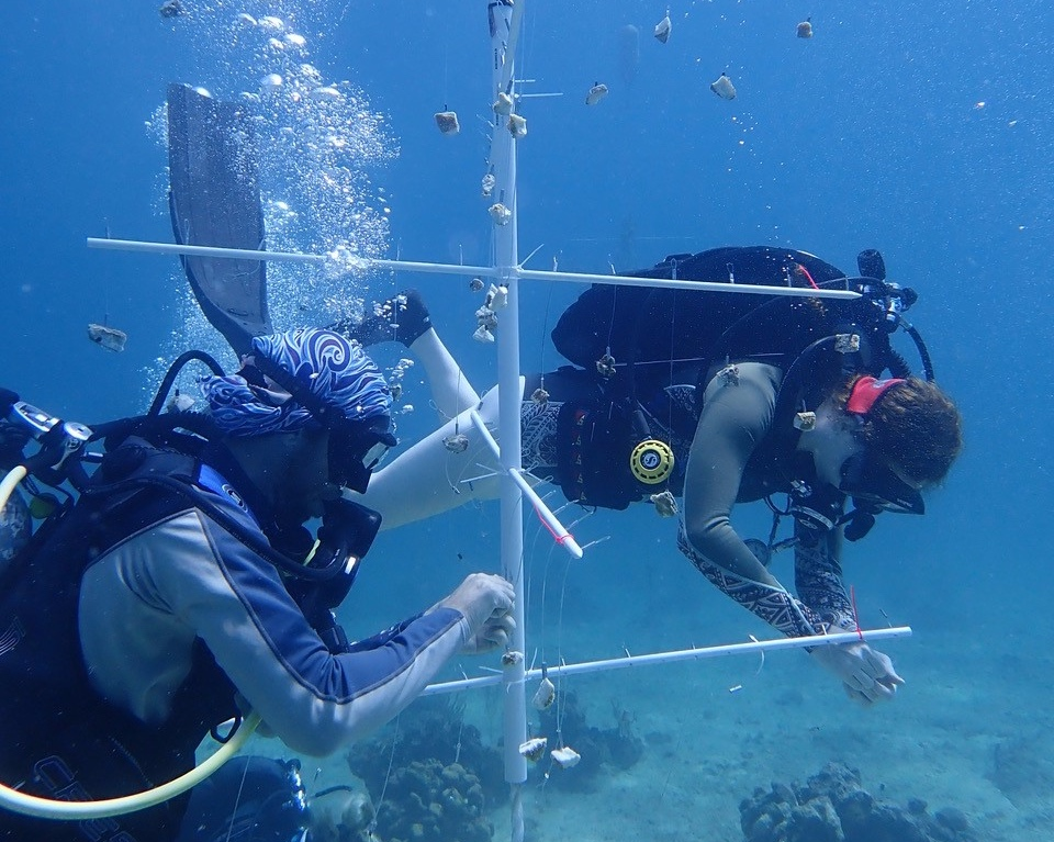 Coral Nurseries Can Help  One strategy for supporting coral reefs is to grow fragments in in-water nurseries. The fragments may be out planted at select locations once they have grown to a certain size. Seen here, Allie Durdall, MSc and Master of Marine and Environmental Studies candidate Brad Arrington clean algae off baby corals at the Flat Cay nursery.  Photo credit: Marilyn Brandt, Ph.D.