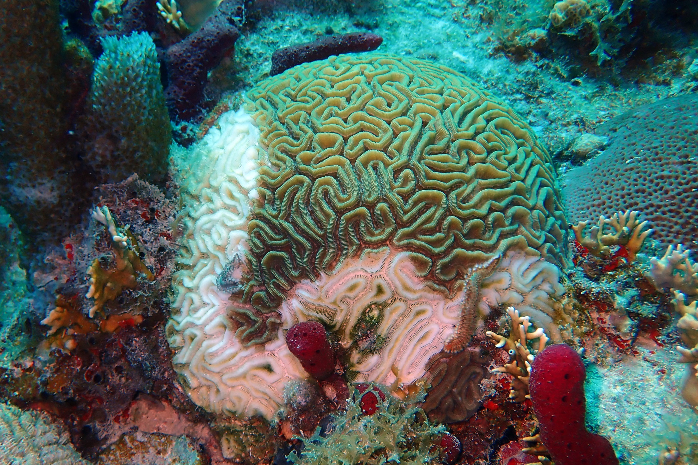 Diseased Grooved Brain Coral ( Diploria labyrinthiformis ) . This brain coral's stark white skeleton is exposed as it is ravaged by stony coral tissue loss disease.  Photo credit: Howard Forbes, Jr.