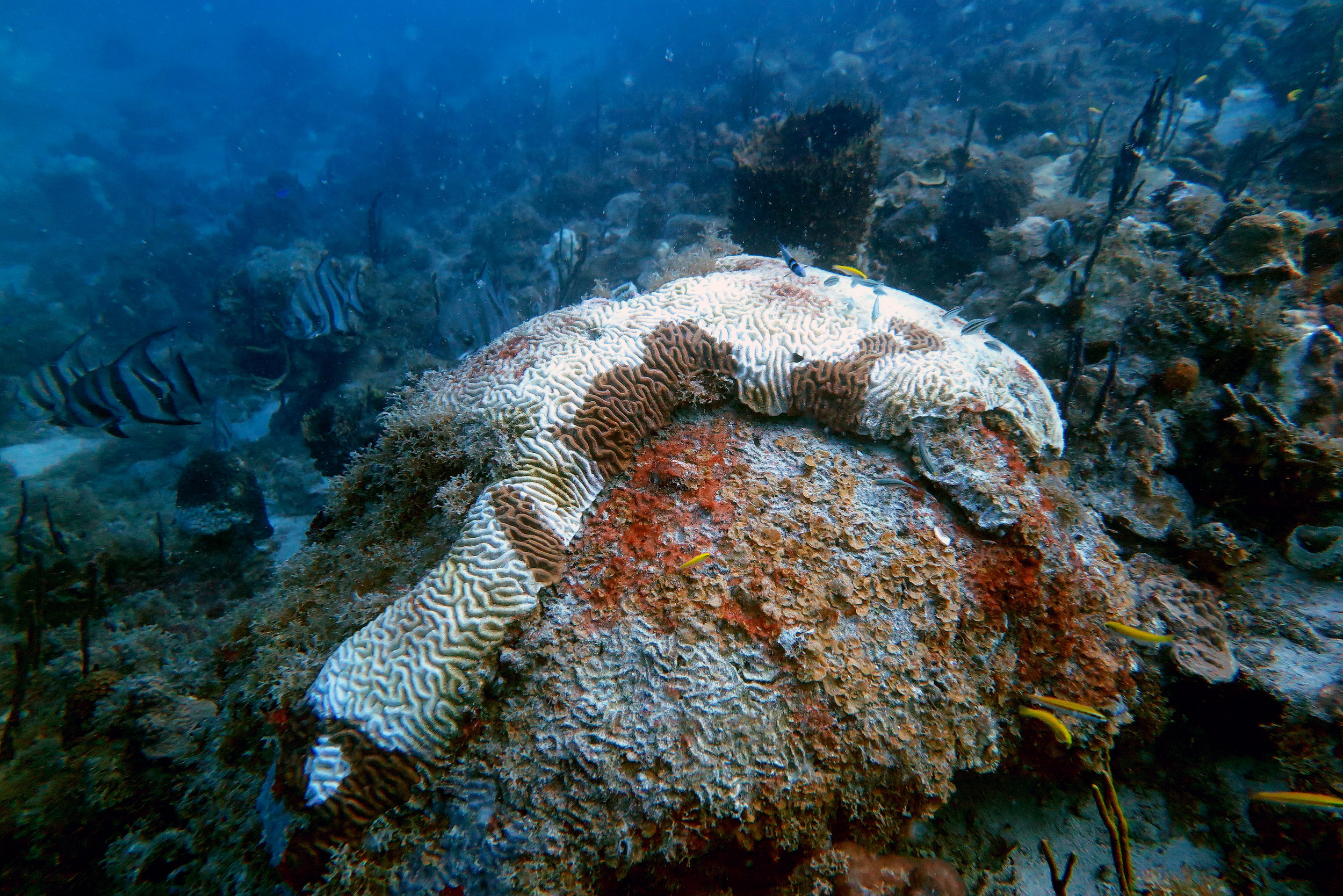 Diseased Boulder Brain Coral ( Colpophyllia natans ).  A boulder brain coral showing the large bright white patches of exposed skeleton characteristic of stony coral tissue loss disease.   Photo credit: Marilyn Brandt, Ph.D.