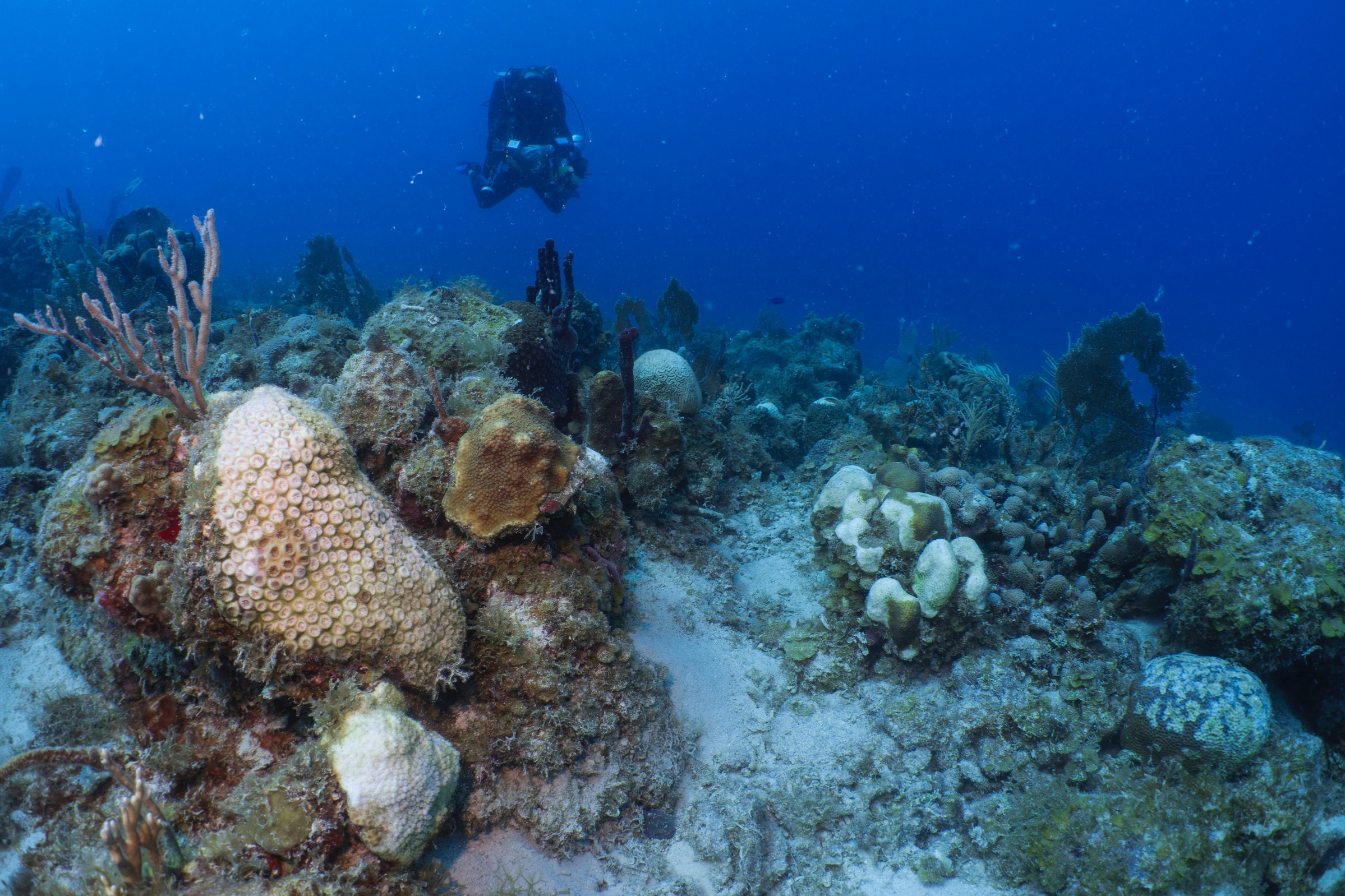 Surveying for disease . A UVI researcher surveys for disease at Flat Cay. Multiple bright white patches on brain and boulder star corals are indicative of stony coral tissue loss disease.  Photo credit: Viktor Brandtneris