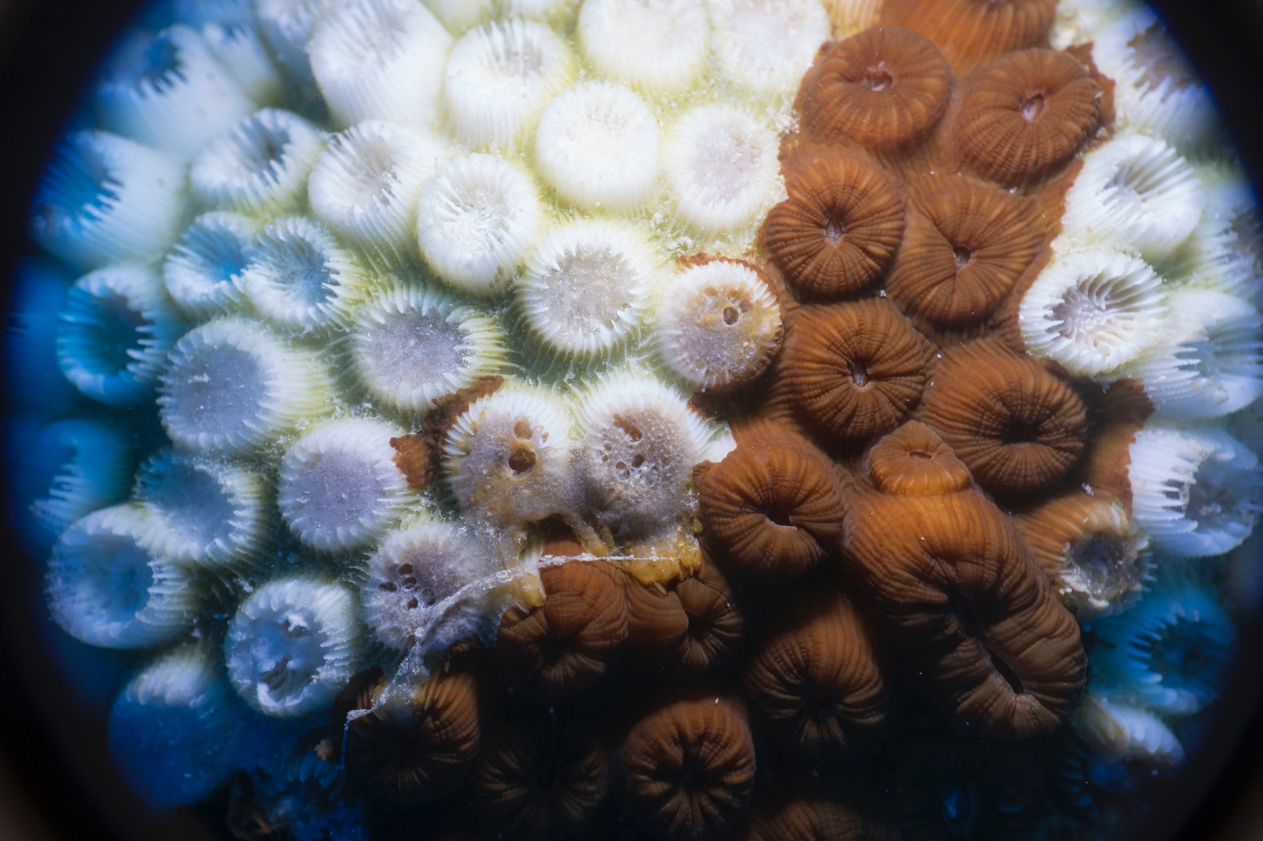 Diseased Large-Cup Star Coral . A close up of a diseased large-cup star coral. Stony coral tissue loss disease causes the tissue on affected corals to rapidly liquefy and sometimes leaves a white film behind.  Photo credit: Viktor Brandtneris
