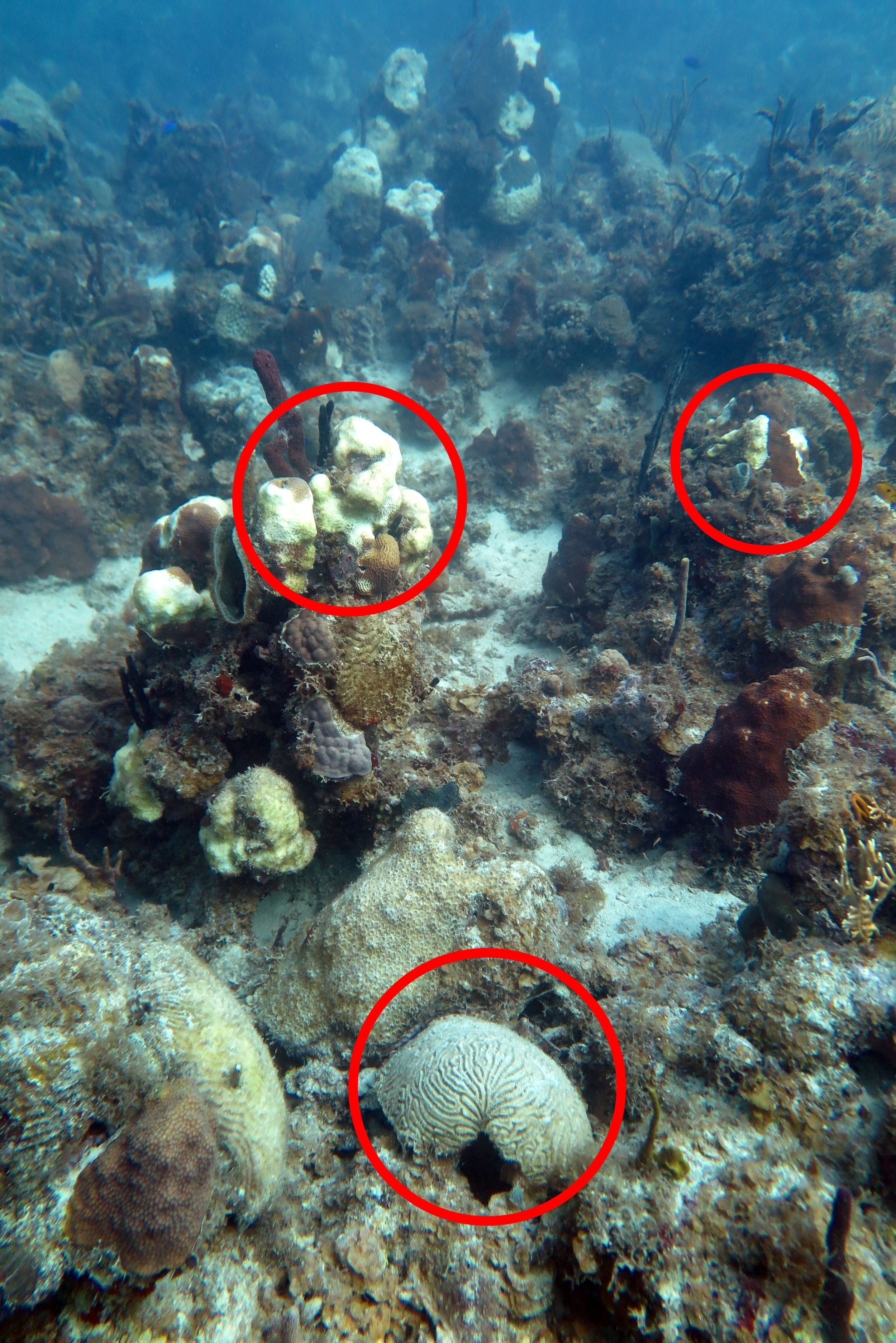 Suspected Stony Coral Tissue Loss Disease is ravaging this reef colony in St. Thomas, USVI waters.   Photo credit: Marilyn Brandt, Ph.D.