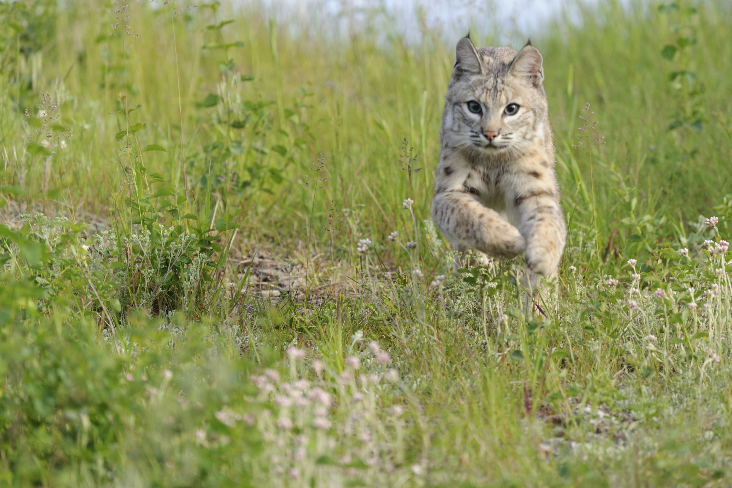Bobcats travel an average of seven miles per day. Photo by Jeff Wendorff.