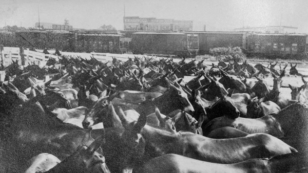 Unloading mules from trains into pens for use in World War I.