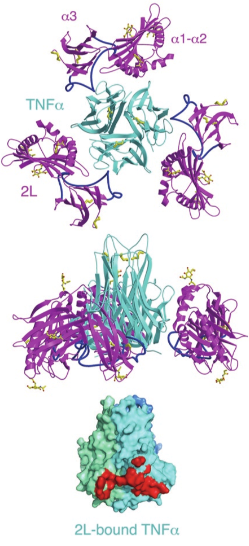 Structure of 2L–TNFα. Disulfide bonds and ordered carbohydrates on 2L are shown as yellow sticks. The 2L–TNFα complex shown as a ribbon diagram in two orientations: looking down the three-fold symmetry axis (above) and with the three-fold axis vertical (middle). Below, a surface representation of TNFα from the complex structure, with the 2L-binding site highlighted in red at one of three interfaces on the TNFα trimer (TNFα subunits are different shades of blue).    Nat Struct Mol Biol . 2009 November ; 16(11): 1189.