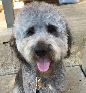 This is Darkwing Duck. He's a doodle who needed a new home.