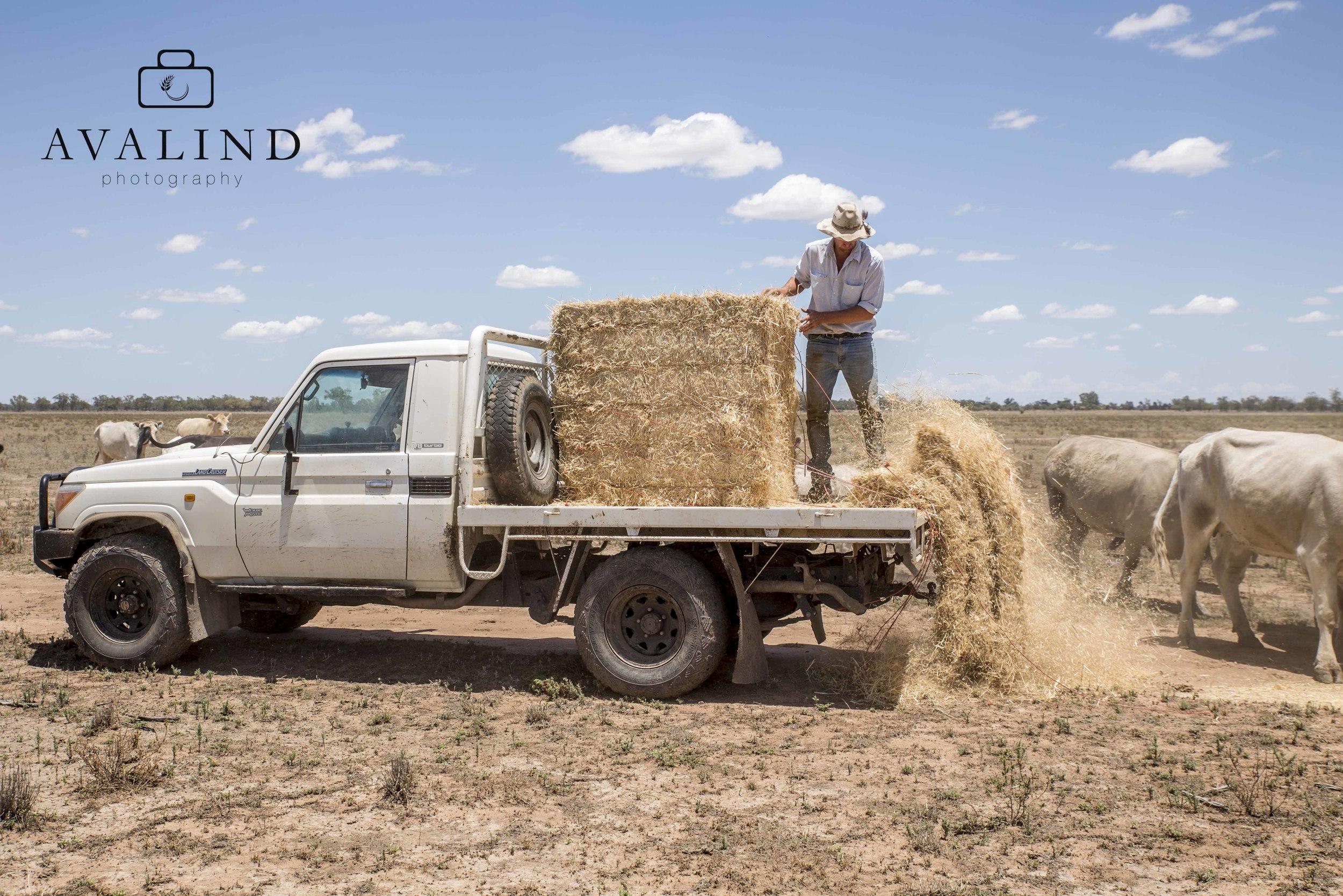 Marcus feeding his cattle near Carinda NSW.
