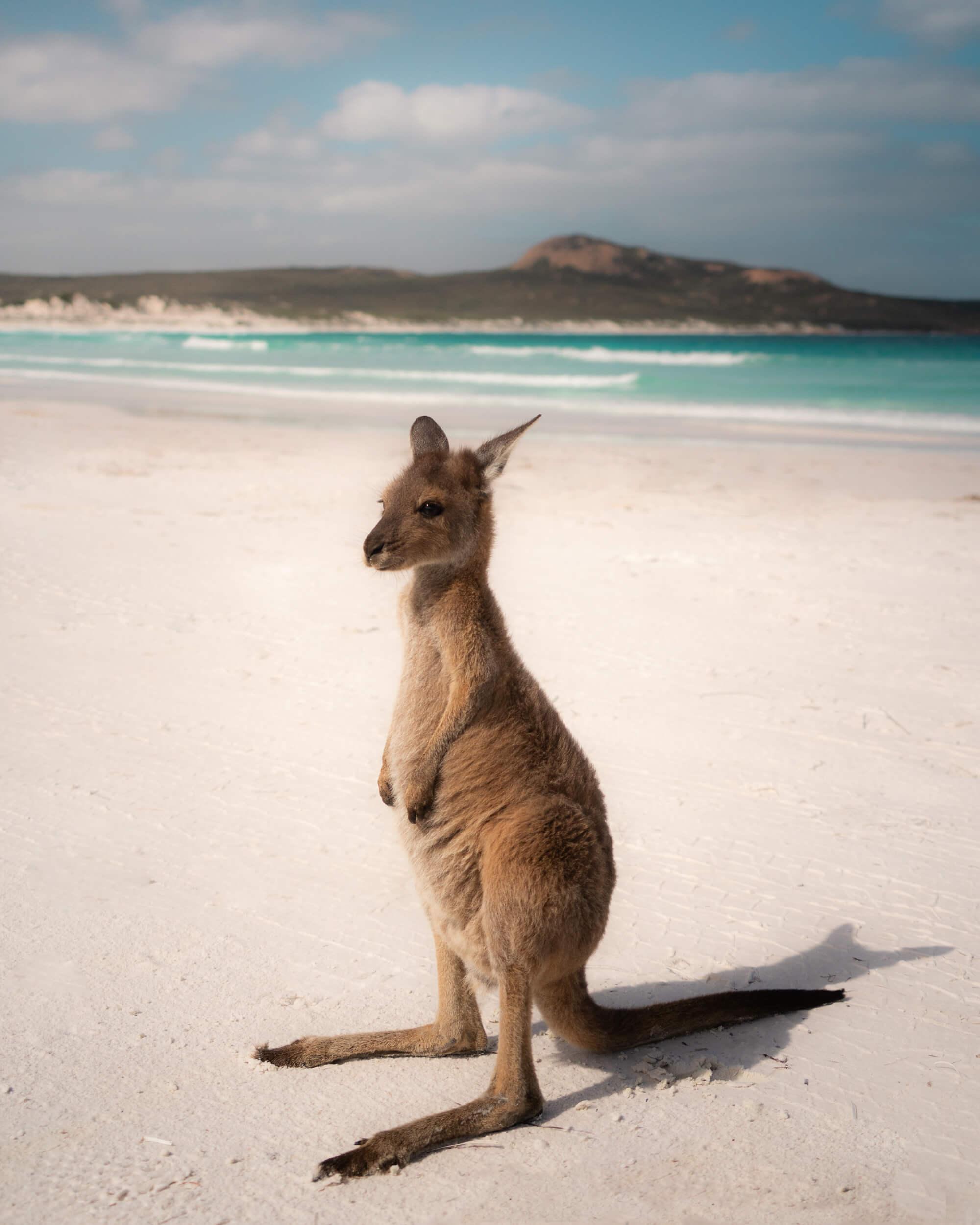 A wild kangaroos at Lucky Bay Beach.