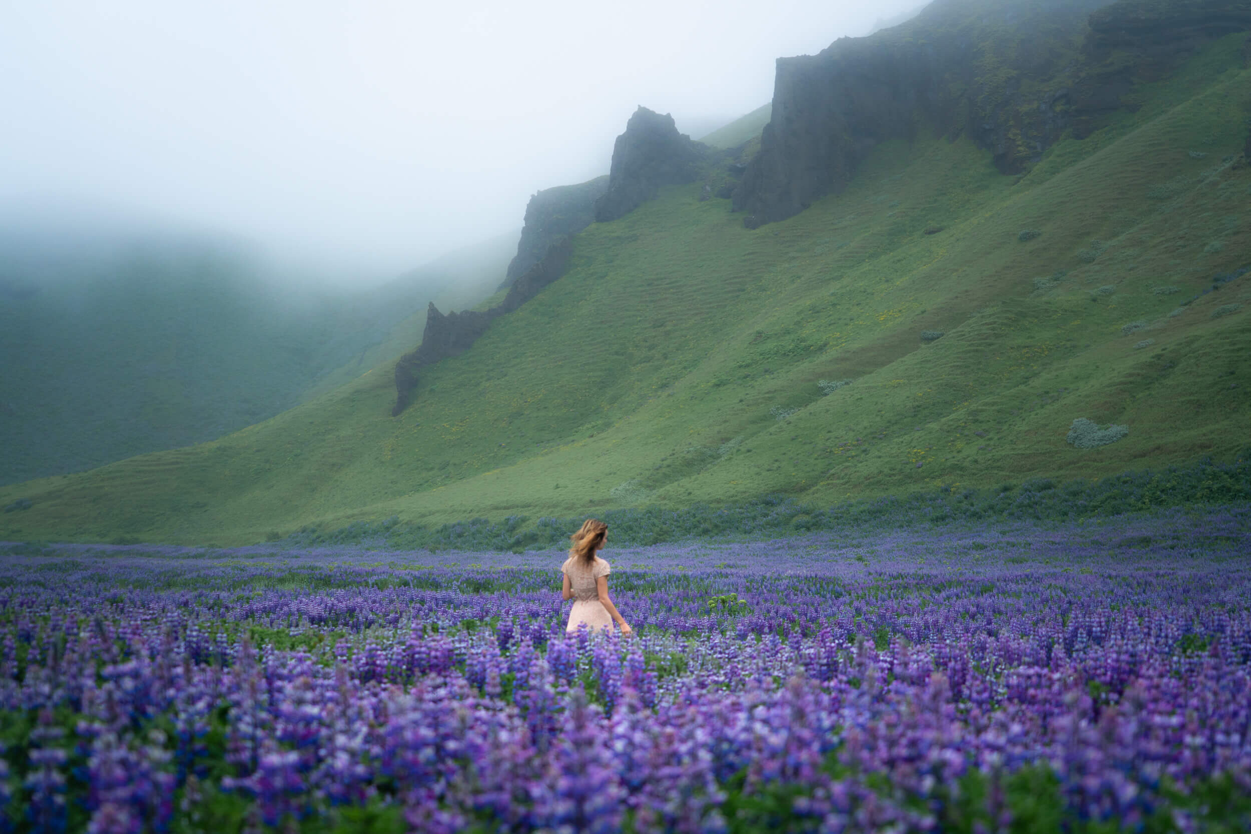 Lupins in Iceland.