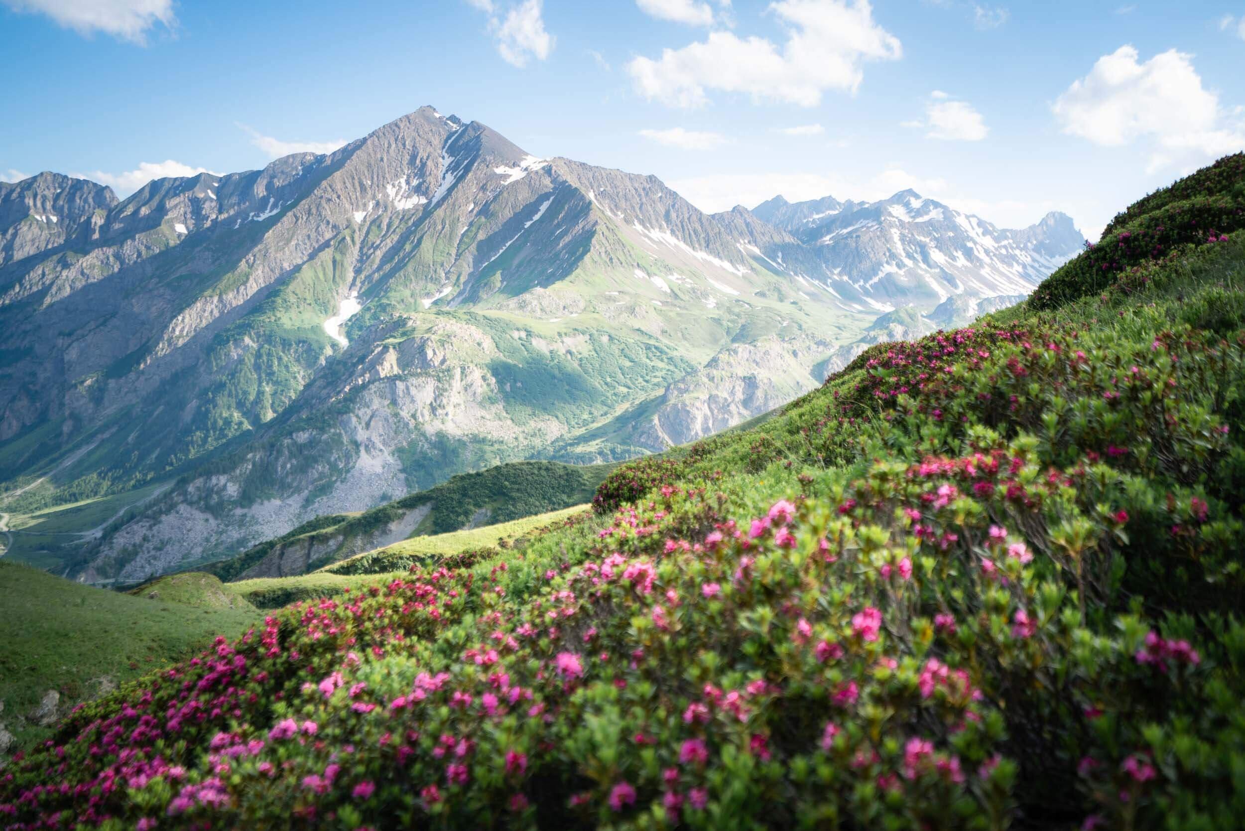Wild flowers along the Tour Du Mont Blanc.
