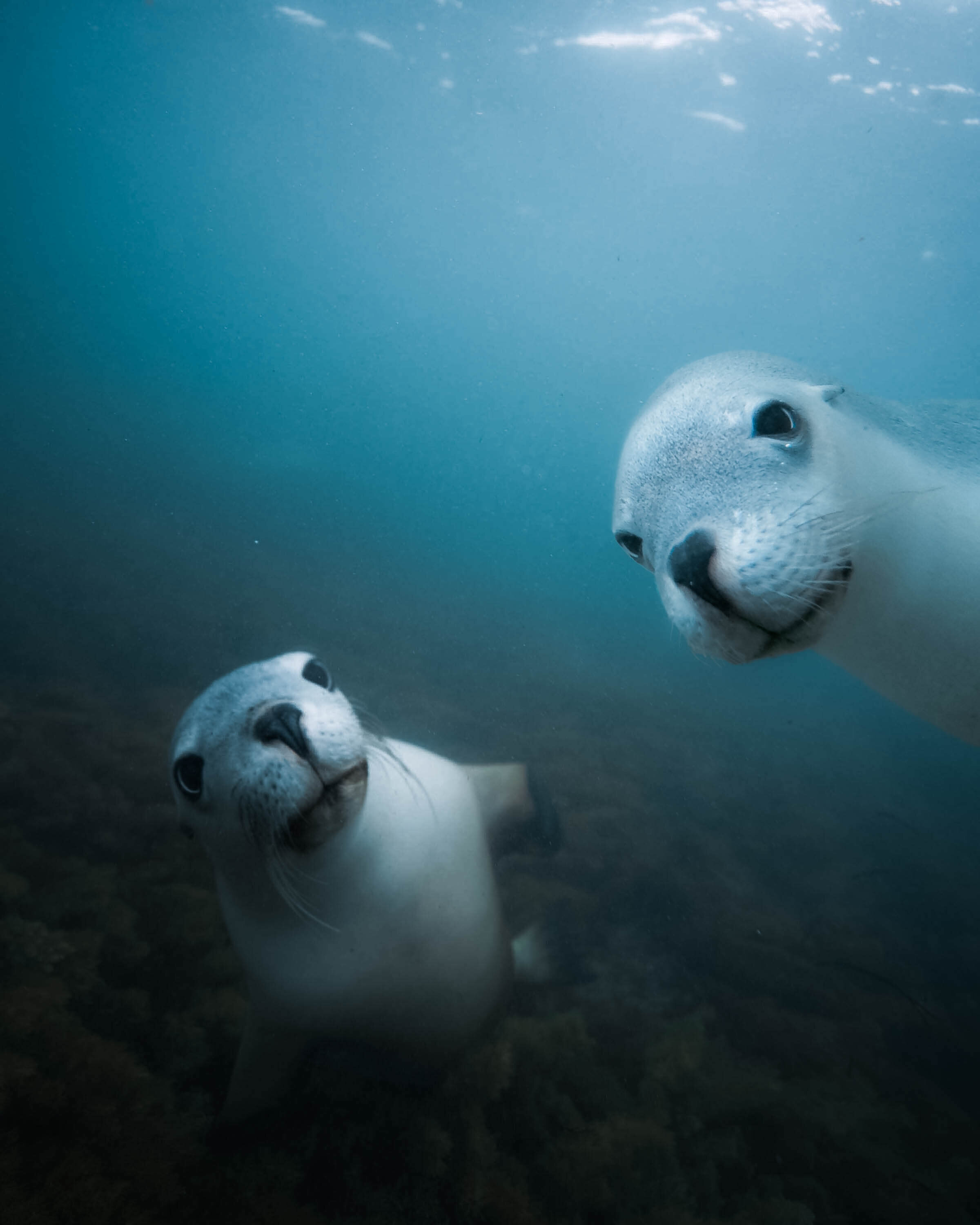 Swimming with Australia's endangered Sea Lions on The  Eyre Peninsula.
