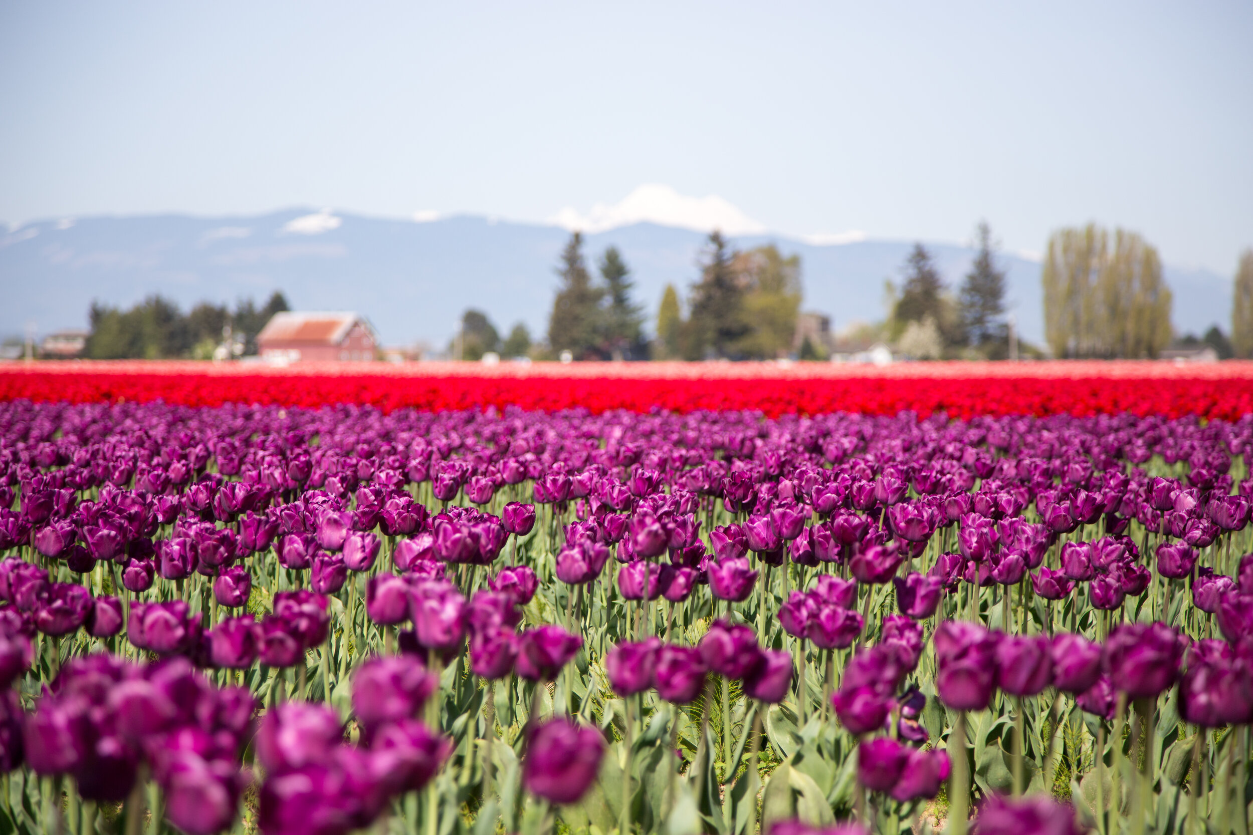 The Skagit Valley Tulip Festival draws people from all over the world and is held from April 1-30.