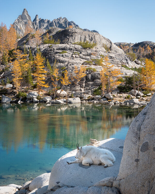 Mountain Goats sightings are common along The Enchantments Trail.