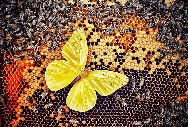 What's your week ahead like? Busy as a bee? Or counting not months but moments, and has time enough like the butterfly? 📸 @cari.butterfly 💙  #beehydrated #bees #butterfly #honeycomb #australian #butterfly #quoteoftheday #honeywater #honeynews #rawhoney #australia #savethebees #australianmade #aussiemade #Melbourne #melbournecafe #adelaide #adelaidecafe #adelaideeats #melbournefoodie #melbourneeats #melbournefood #sydneycafe #brisbaneeats #brisbanecafe  #byronbayfood #byronbayeats #byronbaycafe #australiancafe #madeinaustralia  #brisbaneeats